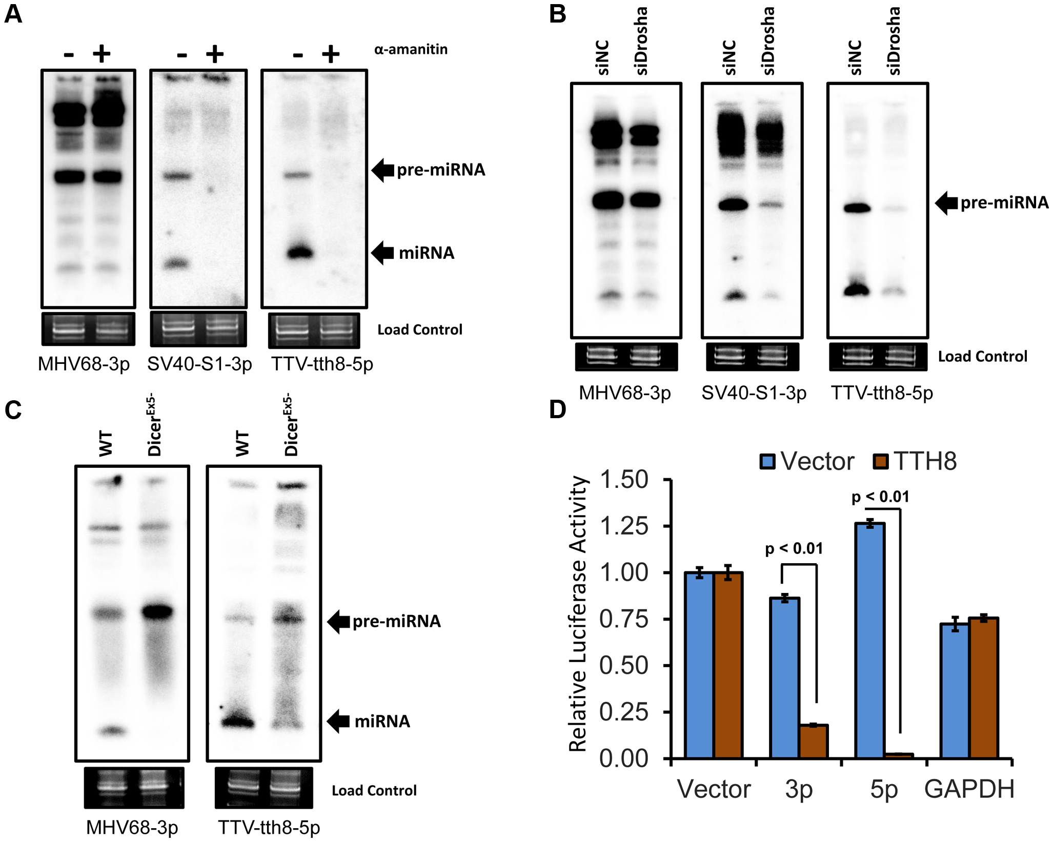 TTV tth8 miRNAs are generated by the canonical host miRNA biogenesis pathway.