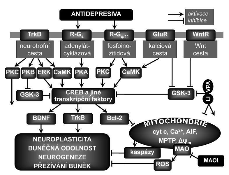 Zjednodušené schéma vlivu antidepresiv na neuroplasticitu Přímé účinky antidepresiv způsobují zvyšování mimobuněčných koncentrací monoaminových neurotransmiterů a aktivaci či inhibici jejich receptorů spřažených s G proteiny (R-G<sub>s</sub>, R-G<sub>q/11</sub>), což má za následek aktivaci kaskád nitrobuněčného přenosu signálu a výslednou podporu plasticity neuronů, jejich přežívání, konektivity a fungování. K upregulaci transkripčního faktoru aktivovaného v odezvě na zvýšené koncentrace cAMP (CREB) a mozkového neurotrofního faktoru (BDNF) a jeho receptoru TrkB dochází při aktivaci adenylátcyklázové cesty v odezvě na dlouhodobé podávání různých antidepresiv. CREB může být fosforylován (aktivován) také proteinkinázami závislými na Ca<sup>2+</sup> a kalmodulinu (CaMK) v odezvě na aktivaci receptorů napojených na fosfoinozitidovou cestu nebo na aktivaci glutamátových ionotropních receptorů (GluR). Inhibice glykogensyntázykinázy-3 (GSK-3) vede k neuroprotektivním účinkům a podpoře neuroplasticity, neurogeneze a buněčné odolnosti přes regulaci různých signálních drah v buňce a přes změny v genové expresi proteinů zahrnutých do mechanismů apoptózy a synaptické plasticity. Bcl-2 zeslabuje procesy vedoucí k buněčné smrti nebo atrofii sekvestrací kaspáz, inhibicí uvolňování mitochondriálních apoptotických faktorů, jako je Ca<sup>2+</sup>, cytochrom c (cyt c) nebo apoptózu indukující faktor (AIF). Bcl-2 dále zvyšuje mitochondriální uptake Ca<sup>2+</sup> a zabraňuje otevírání mitochondriálních propustných přechodových pórů (MPTP), což je klíčový děj v buněčné smrti, neboť vede přinejmenším k přechodné ztrátě vnitřního transmembránového potenciálu Δψ<sub>m</sub>, vstupu vody do matrixu a vyrovnání koncentrací iontů. ERK – kináza regulovaná mimobuněčným signálem, MAO – monoaminoxidáza, MAOI – inhibitor MAO, PKA – proteinkináza typu A (aktivovaná cAMP), PKB (Akt) – proteinkináza typu B, PKC – proteinkináza typu C, ROS – reaktivní formy kyslíku, WntR – receptor pro proteiny Wnt