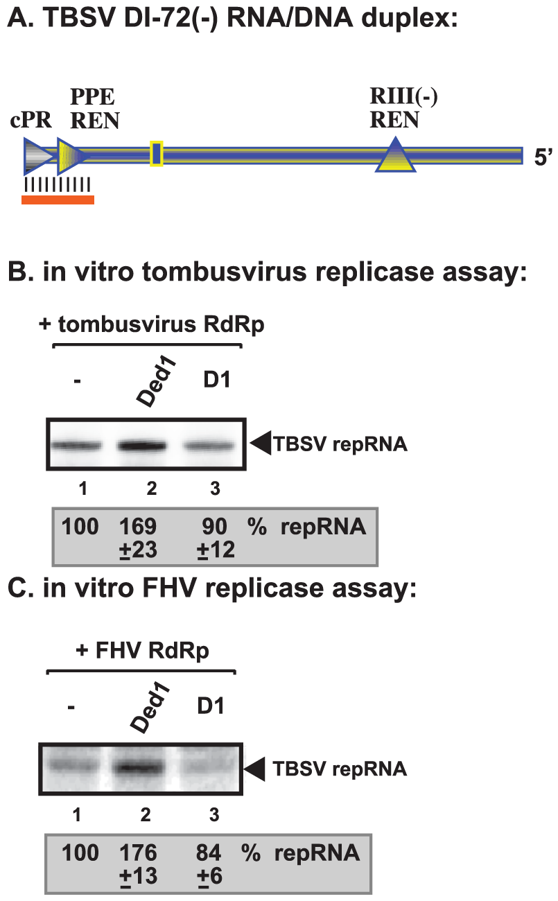 Ded1p facilitates the RNA synthesis by the tombusvirus and FHV replicases on short partial DNA/RNA duplex.