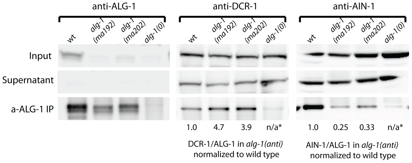 Western blot analysis of ALG-1 immunoprecipitated complexes from extracts of <i>alg-1(anti)</i> and wild type animals.