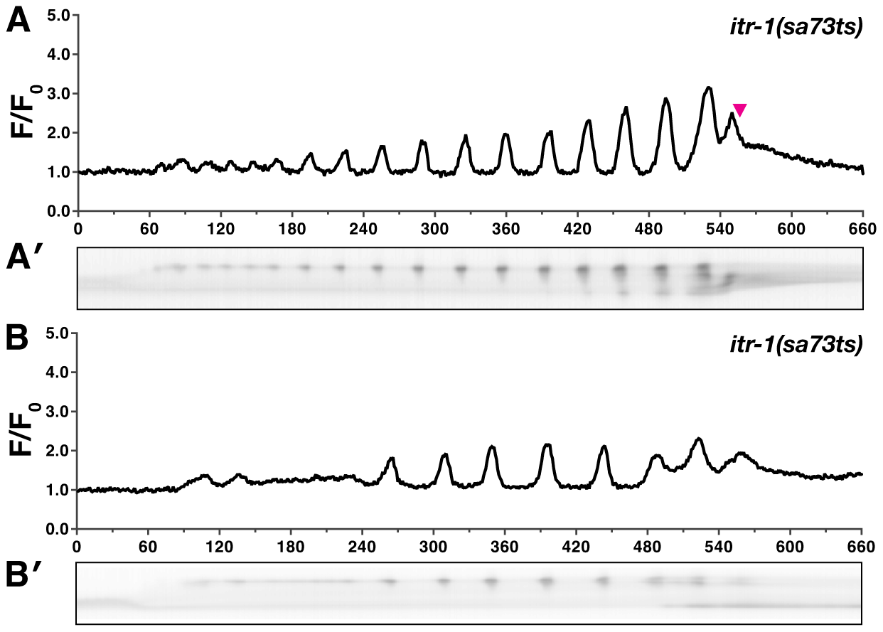 <i>itr-1(sa73ts)</i> disrupts calcium signaling at the semi-permissive temperature.