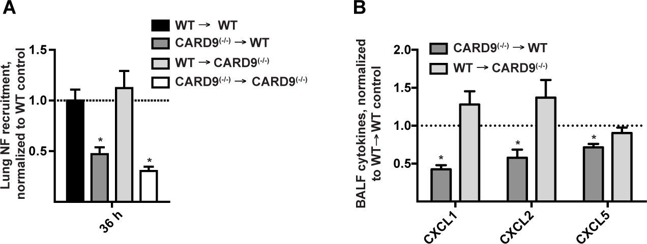 Hematopoietic CARD9 signaling drives neutrophil recruitment and chemokine induction.