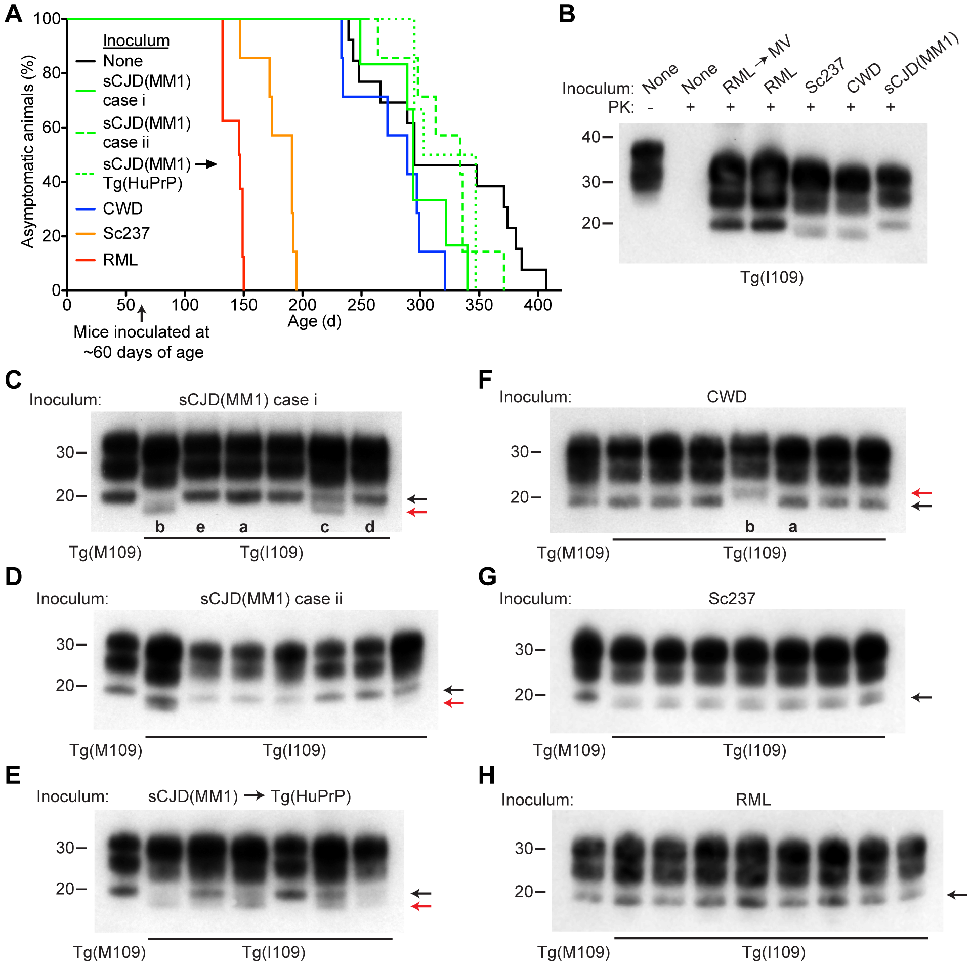 Prion strain diversity following passage of sCJD(MM1) and CWD prions in Tg(I109) mice.