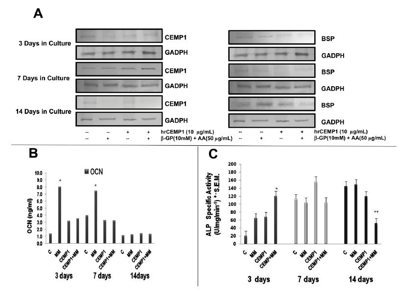 Figure 4. Effect of hrCEMP1 on the expression of cementum protein 1 (CEMP1), bone sialoprotein (BSP), osteocalcin (OCN) and Alkaline phosphatase activity. HCDC were treated with hrCEMP1 (10μg/mL) and/or β-glycerophosphate and ascorbic acid at 3, 7 and 14 days. The medium was replaced every other day. Proteins were extracted and subjected to western blot analysis using 10μg of total cellular protein. (A). Increased expression of CEMP1 by hrCEMP1 and mineralising media is showed at 7 days, while BSP decreased at 14 days under the same culture conditions. (B) The expression of OCN was determined by ELISA assay. The expression of OCN was decreased by hrCEMP1 plus mineralising media treatment with respect to mineralising media alone at 7 and 14 days. (C) Alkaline phosphatase activity was measured. The Alkaline phosphatase activity is regulated in early and late stages by hrCEMP1 and mineralising media. The activity was expressed as nanomoles of p-nitrophenol/min/mg of protein. n=3, *P<0.001; **P<0.05.