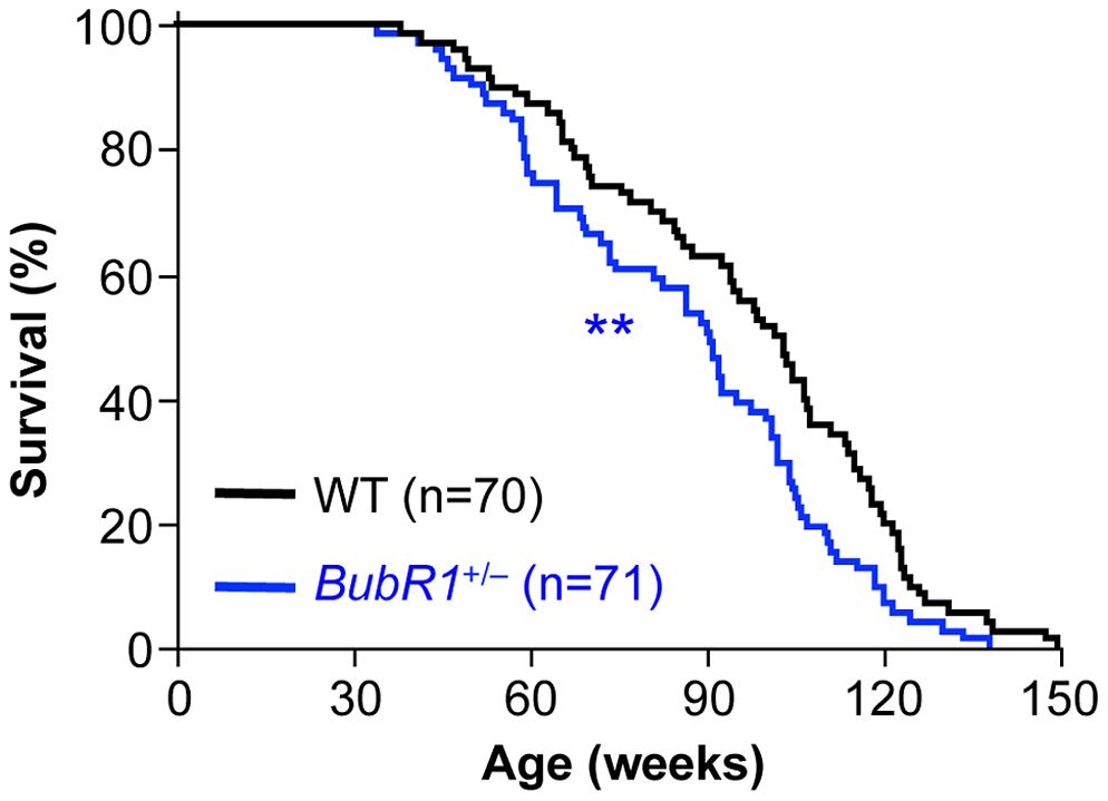 Lifespan of <i>BubR1</i><sup>+/−</sup> mice is reduced.