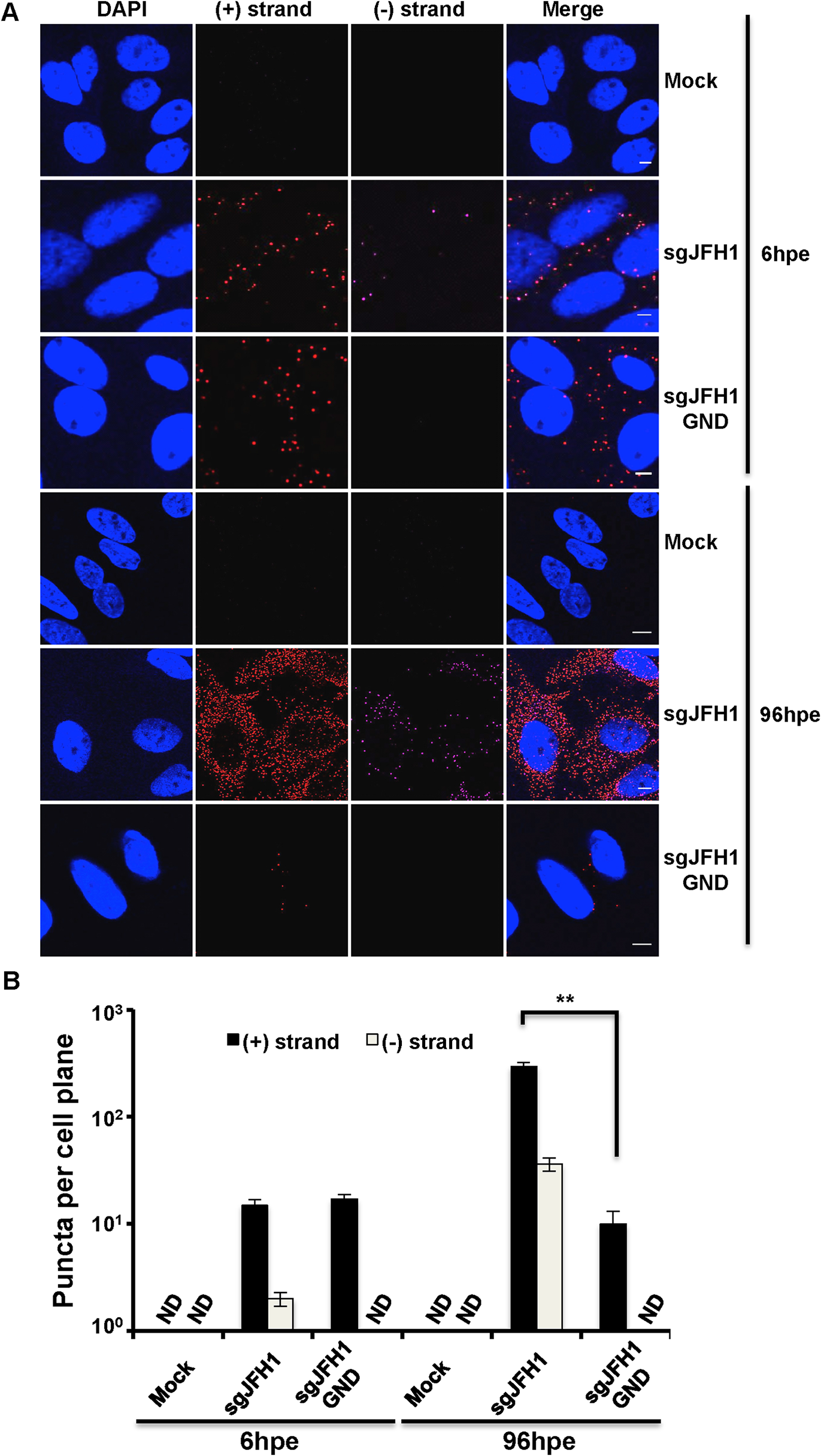 Strand specific HCV RNA detection in fixed cells.