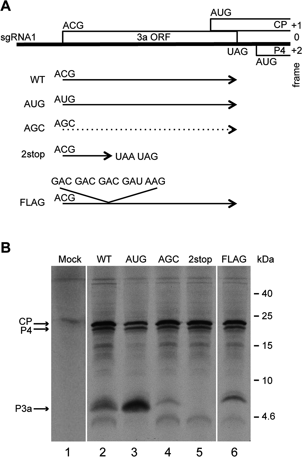Schematic representation of the TuYV-3a mutants and <i>in vitro</i> translation of their corresponding subgenomic RNA1.
