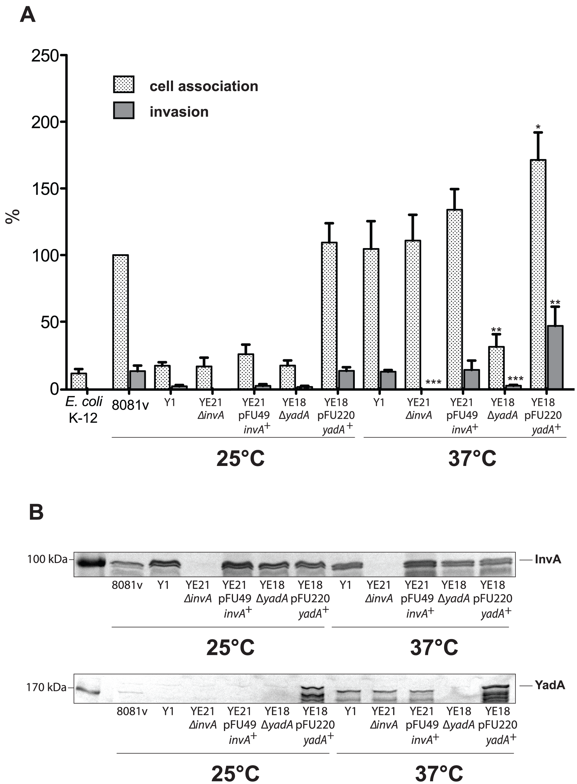 Coexpression of invasin and YadA is necessary for efficient invasion at 37°C.