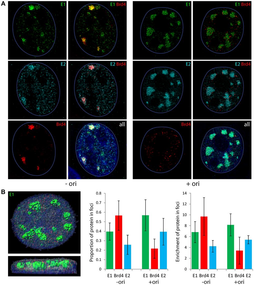 Localization of Brd4 to E1–E2 replication foci changes in the presence of the replication origin.