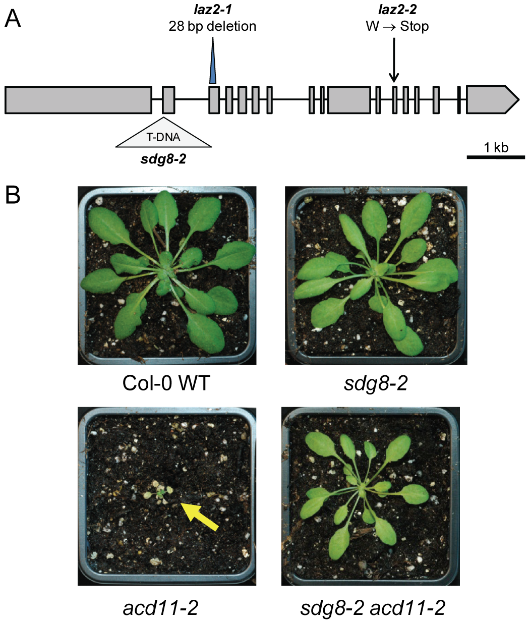 <i>LAZ2</i> encodes a histone lysine methyltransferase that is essential for cell death in <i>acd11</i>.