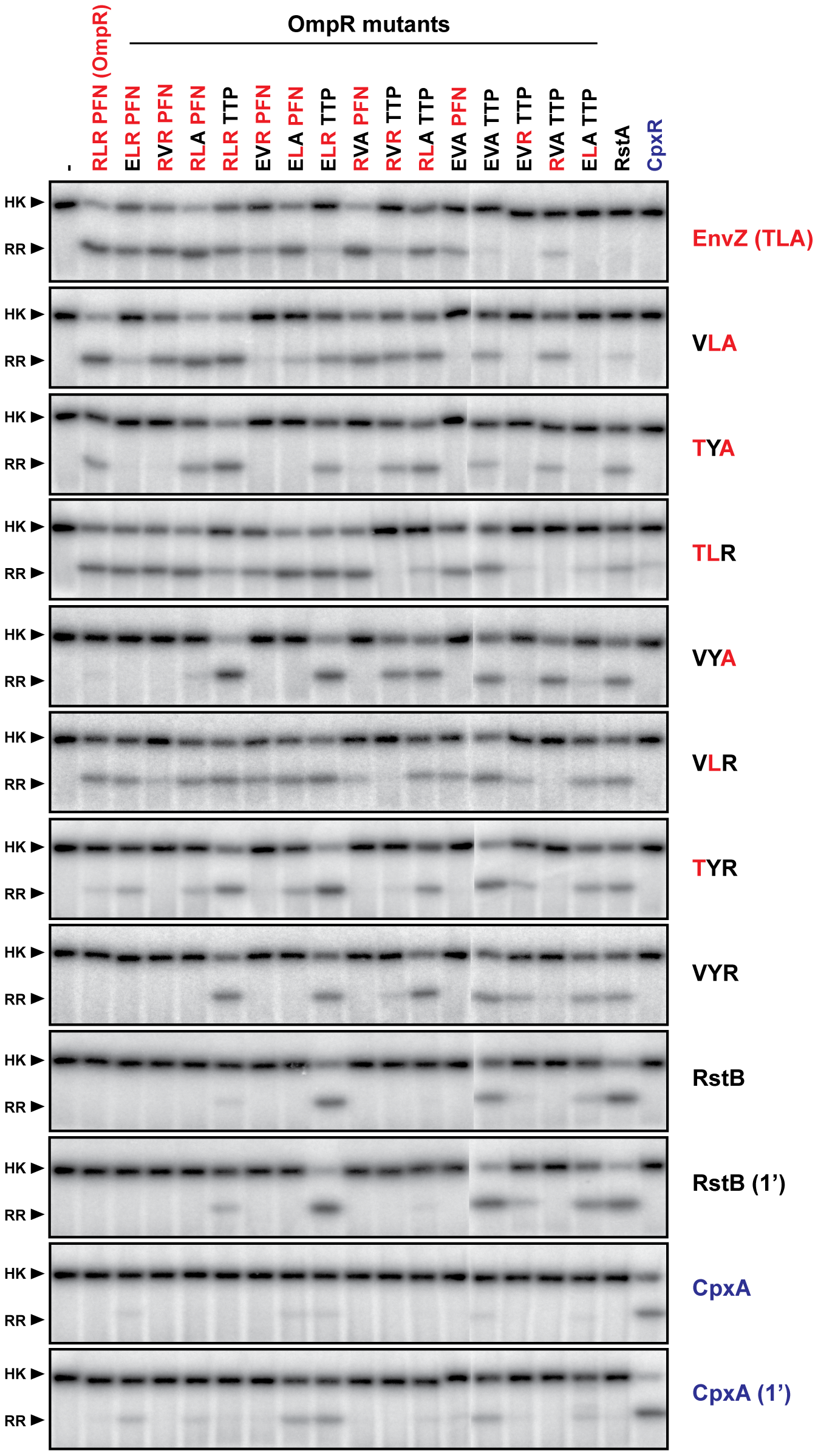 Complete trajectory-scanning mutagenesis of EnvZ and OmpR.