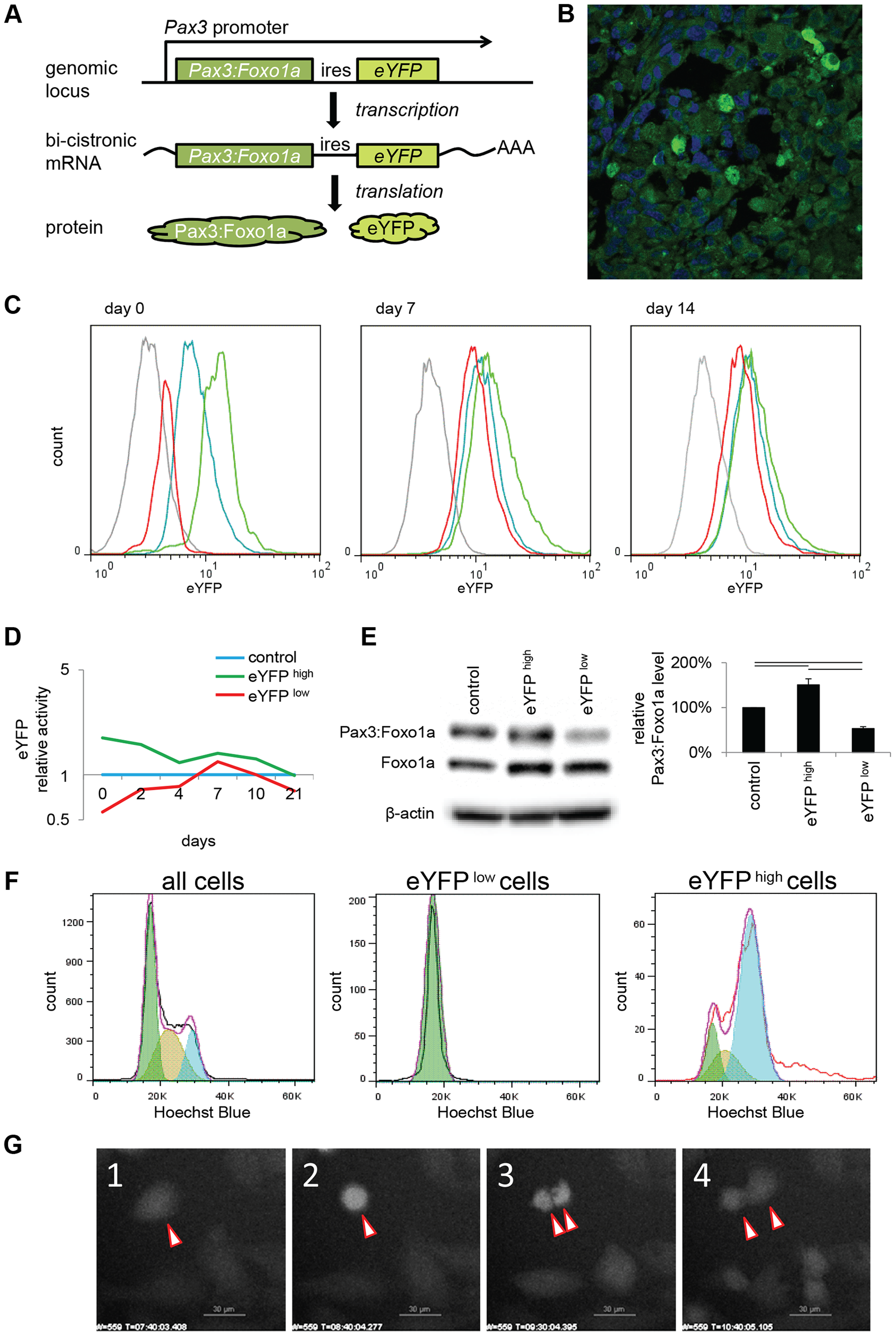 eYFP activity and Pax3:Foxo1a expression is cell cycle specific.