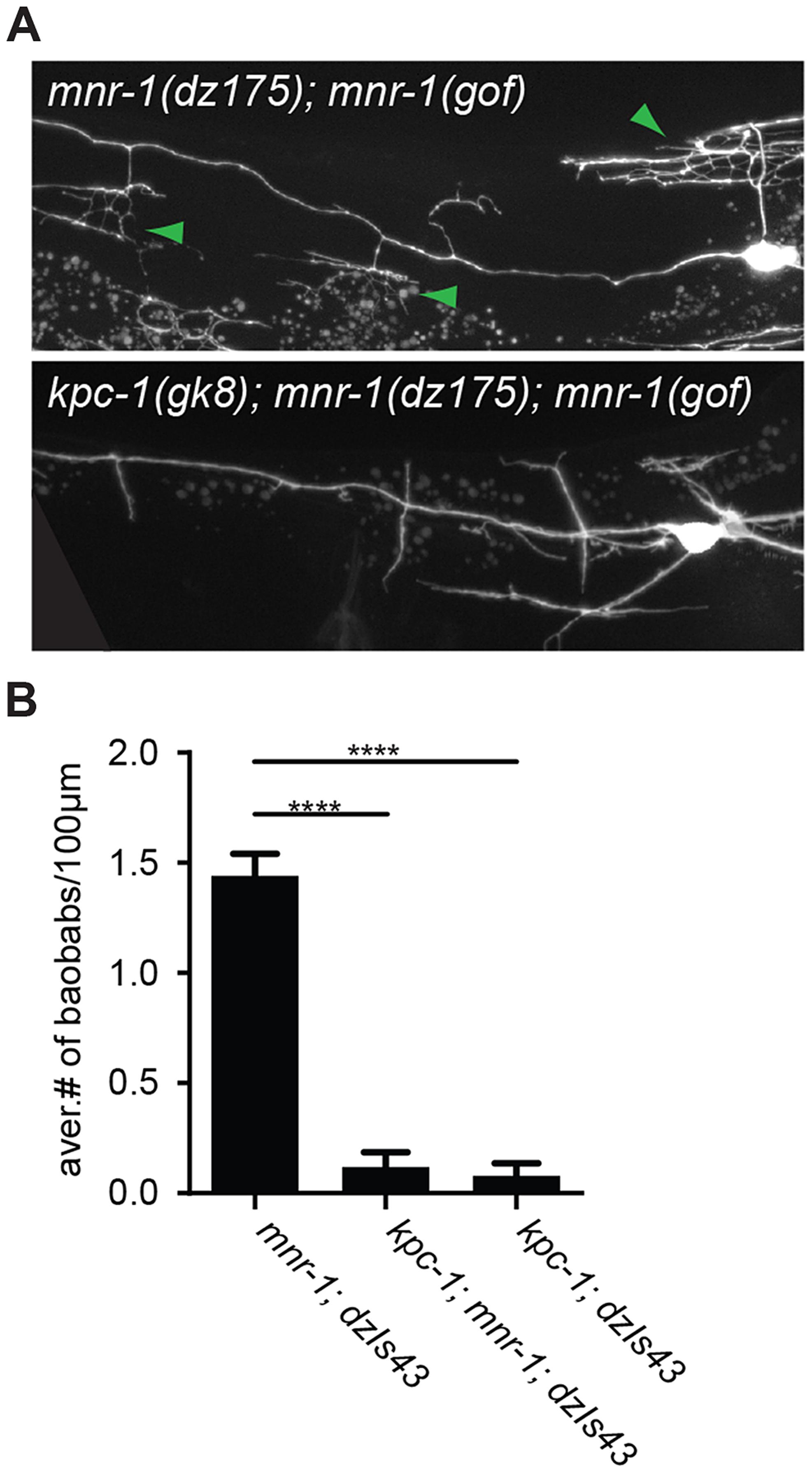 MNR-1/menorin requires <i>kpc-1</i> functions.