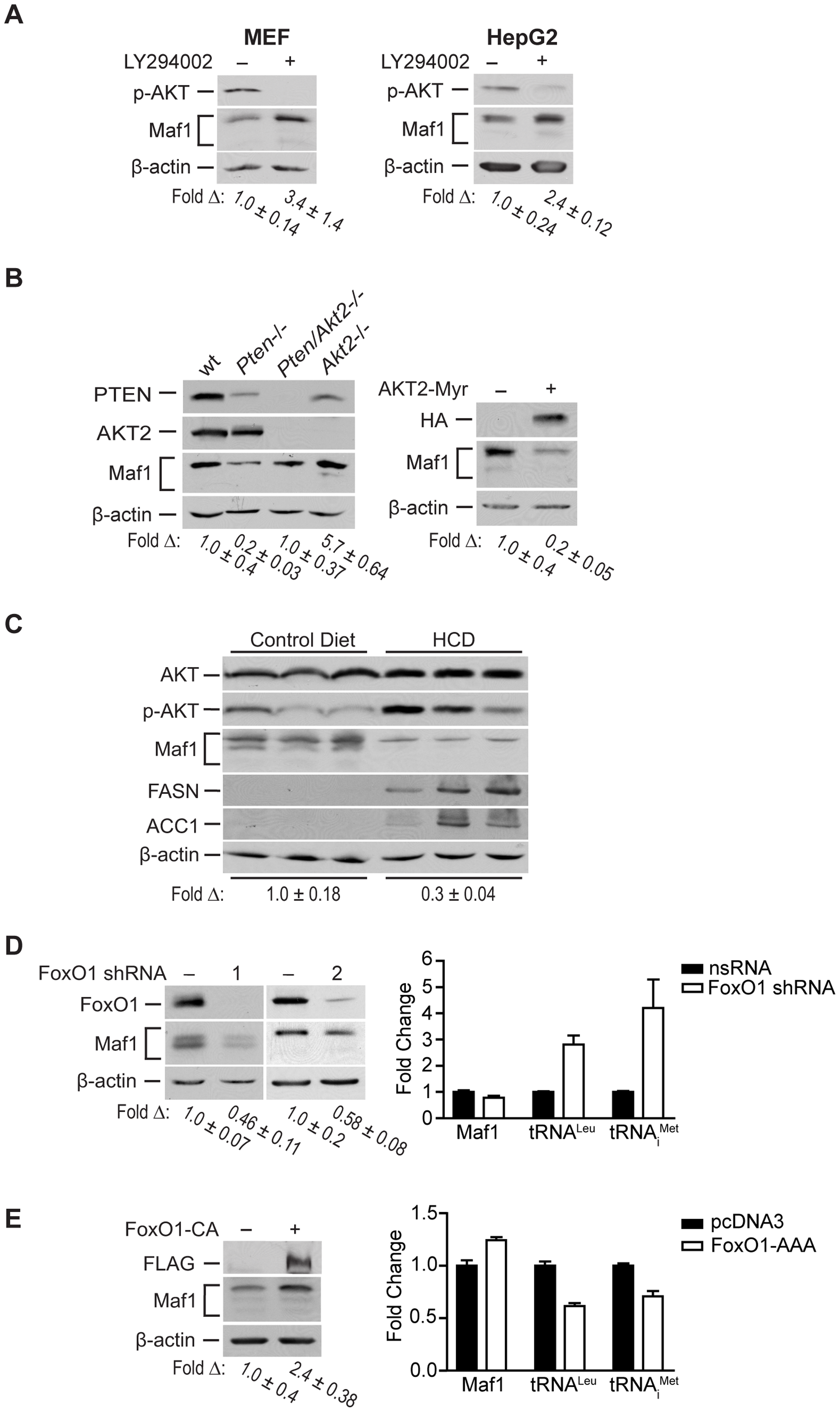 Maf1 is regulated through PI3K/AKT/FOXO1 signaling.