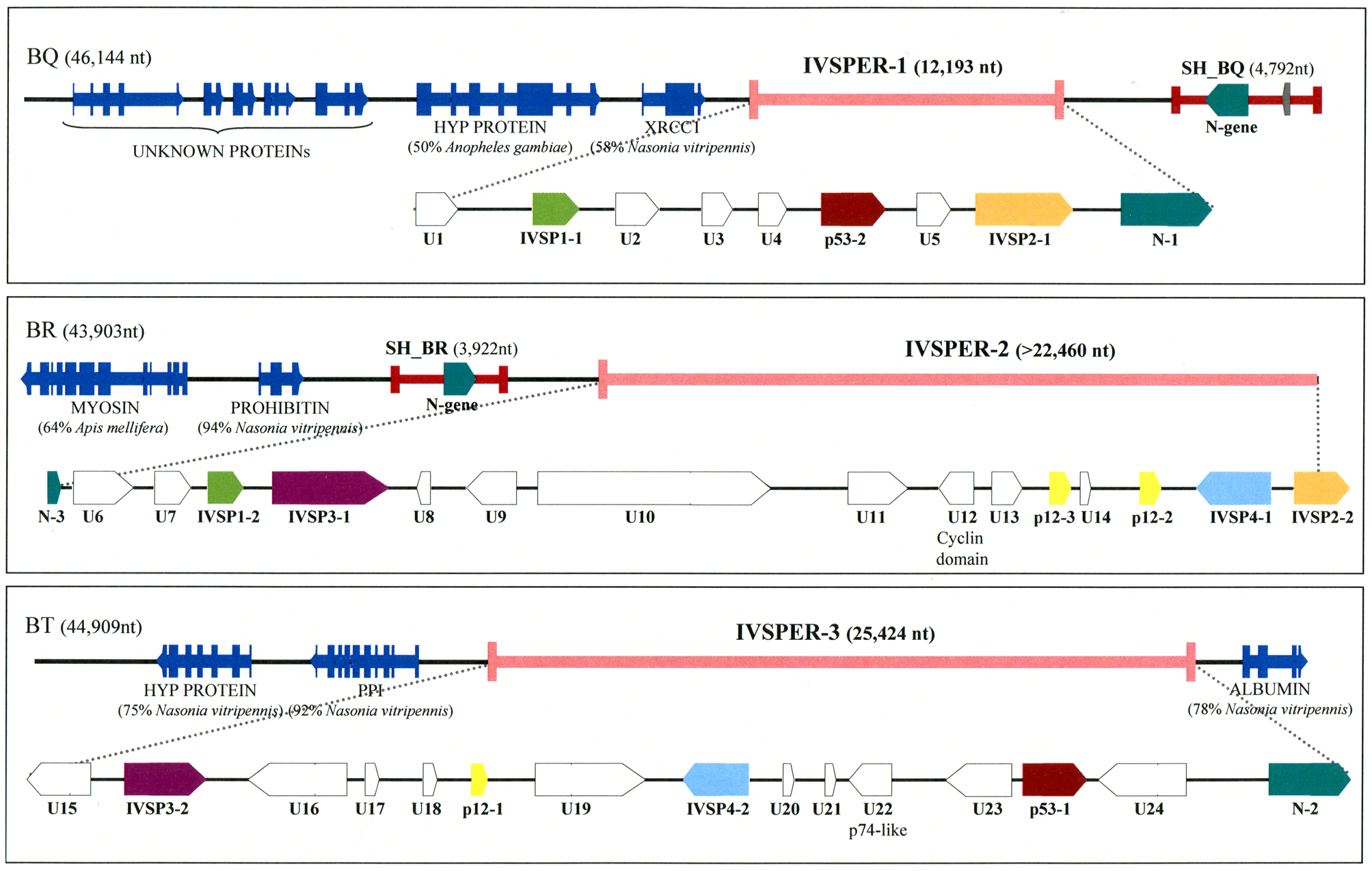 Map of the three IVSPERs identified in <i>H. didymator</i> genome and of their flanking sequences.
