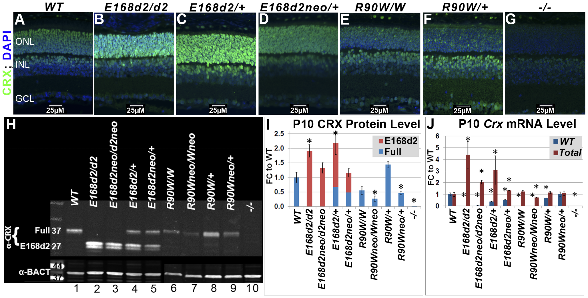 Differential expression of mutant CRX protein/RNA in <i>K-IN</i> mouse retinas.