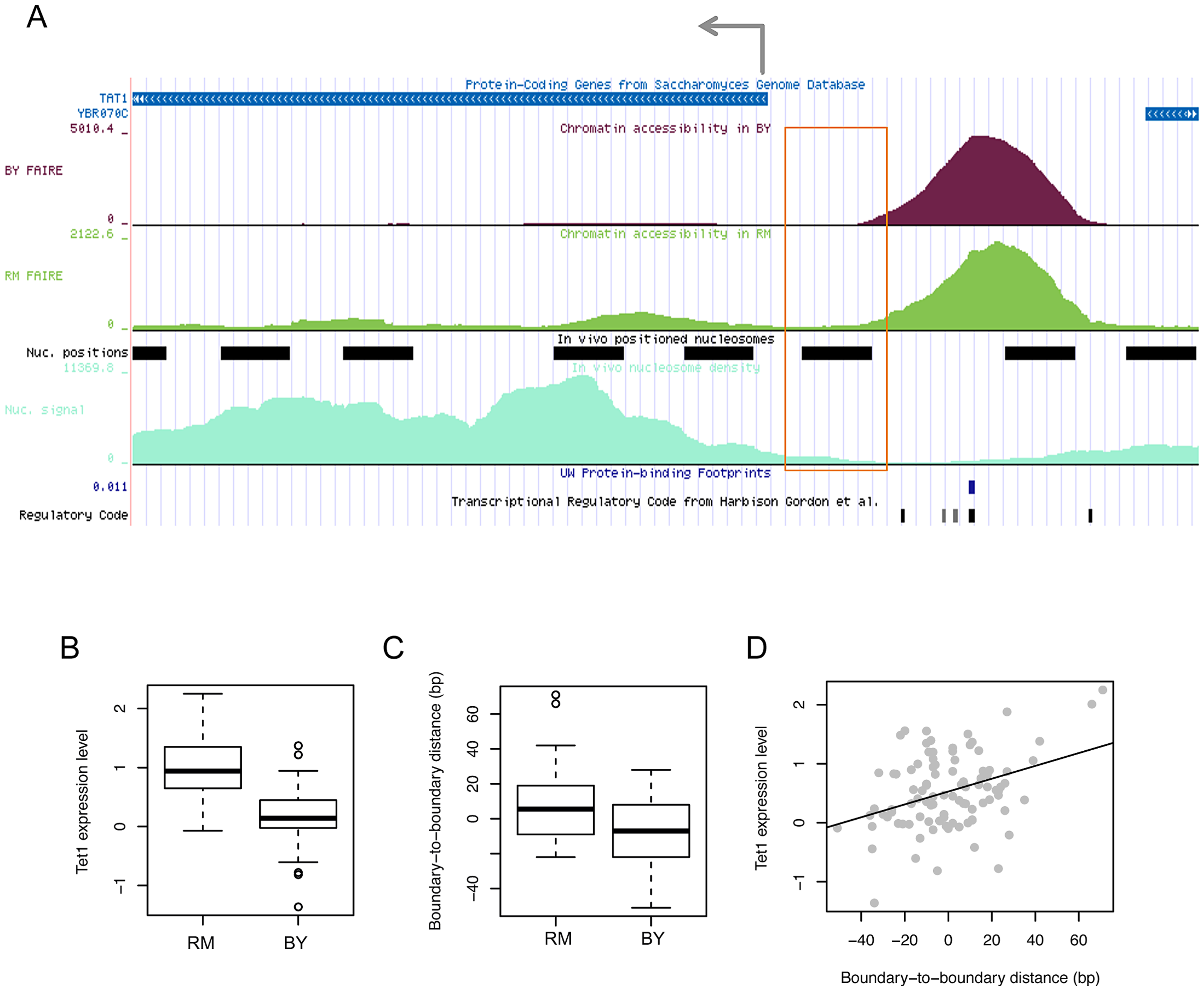 Effects of chromatin border regulation on nearby gene expression.