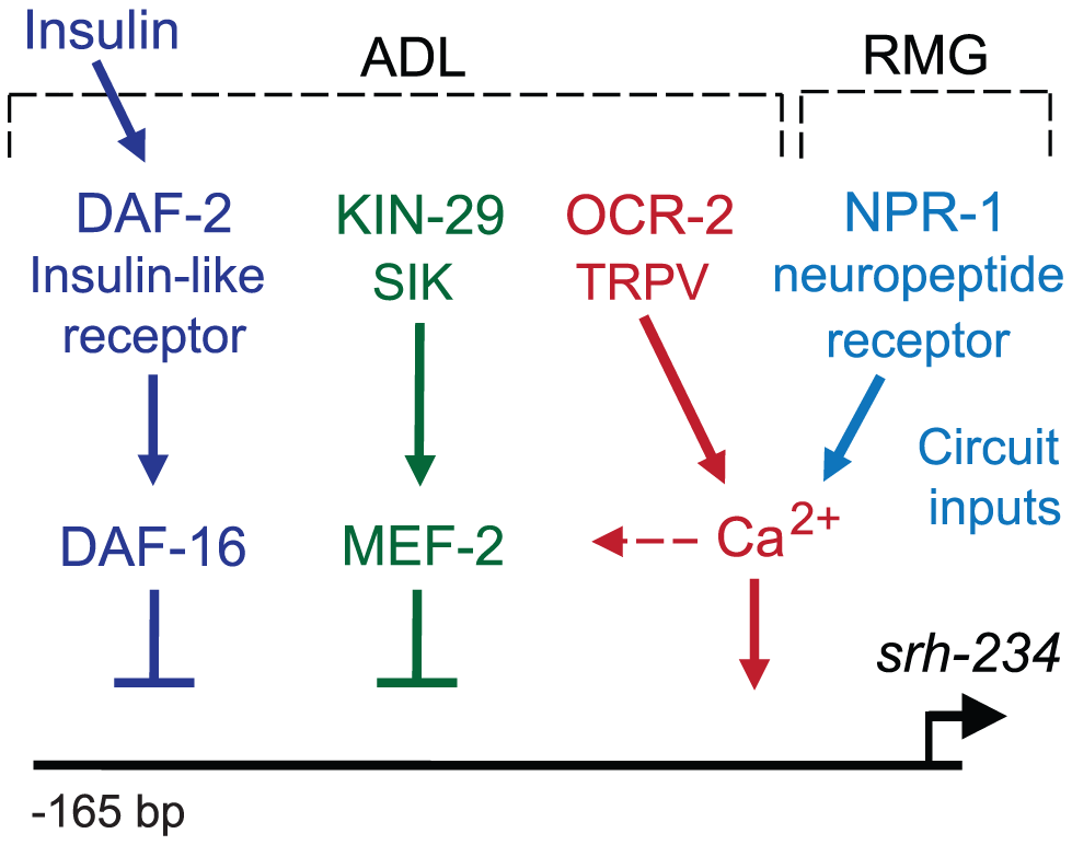 Model for sensory and circuit-mediated regulation of <i>srh-234</i> expression.