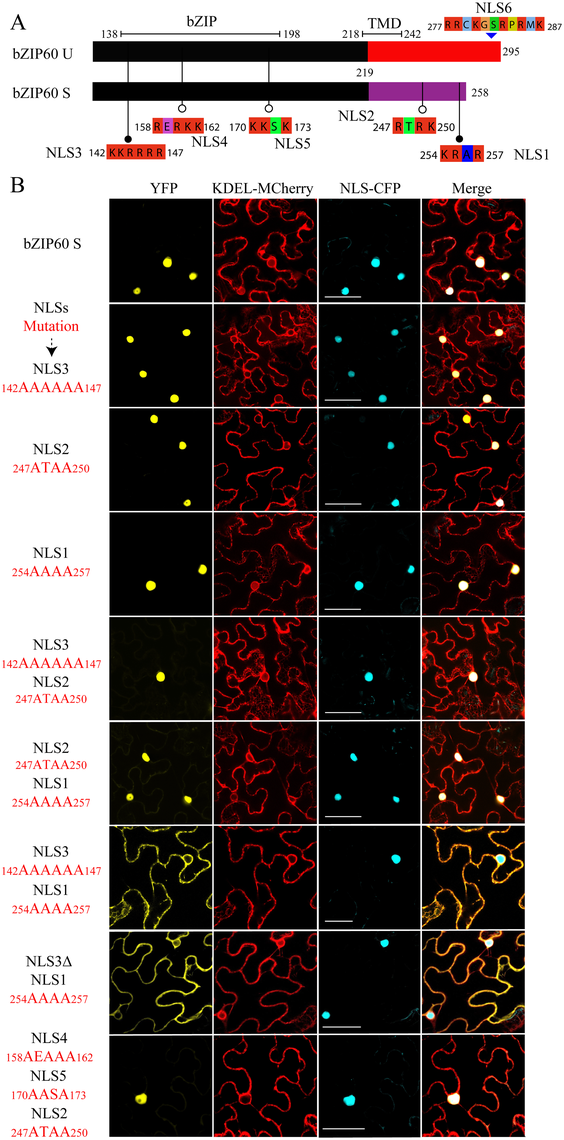 Identification of NLSs of bZIP60 S.