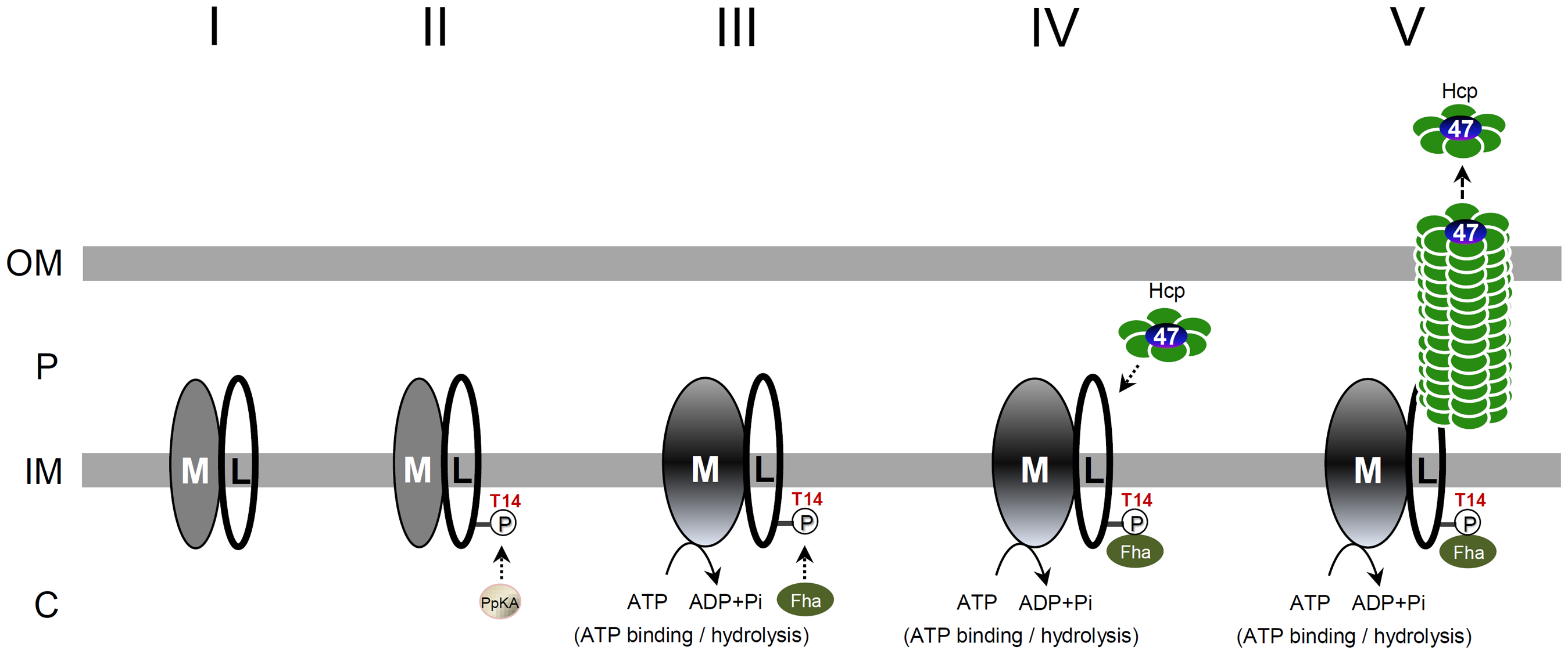 A proposed model of TssL phosphorylation-induced type VI assembly and secretion pathway.
