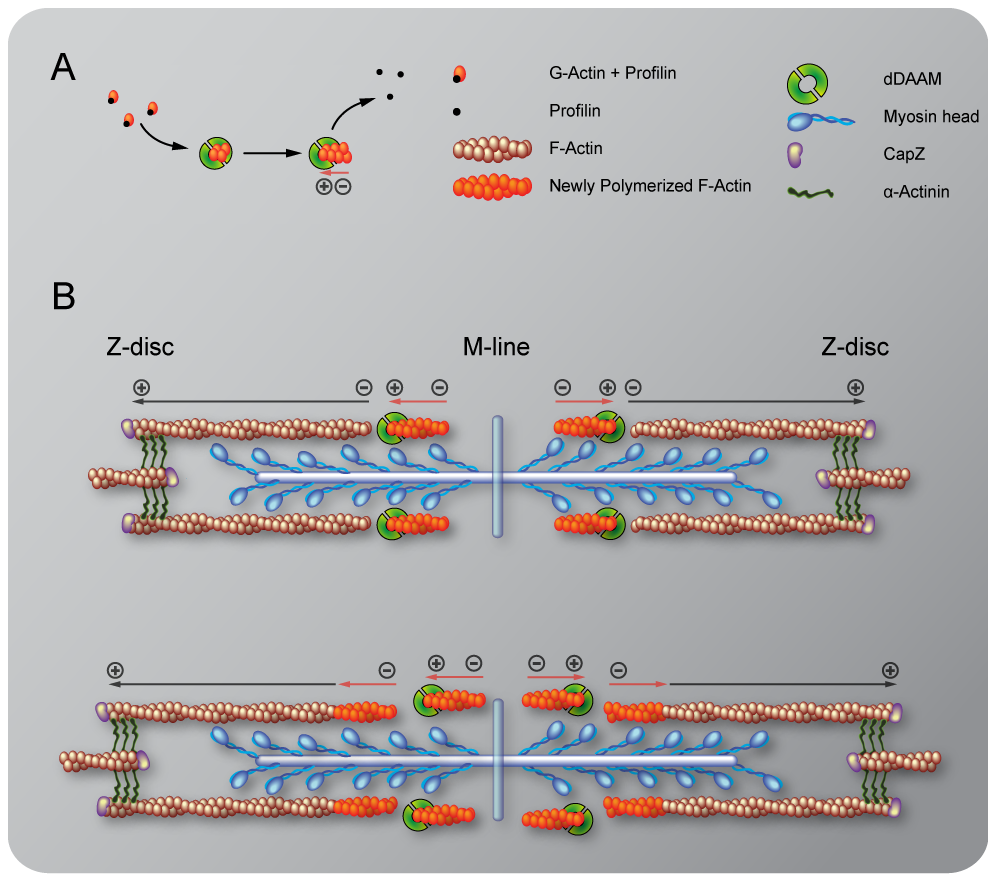 Sarcomeric localization of the mDaam1 protein.
