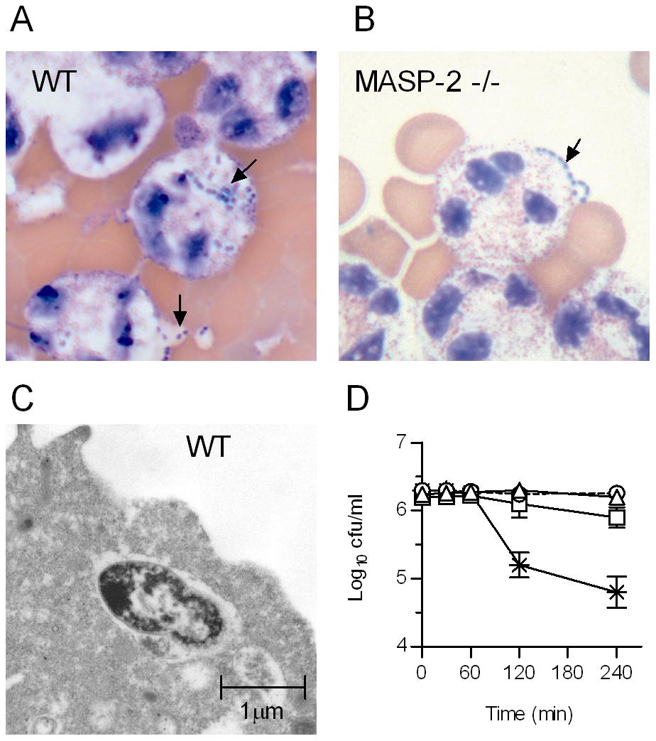 MASP-2 deficiency impairs phagocytosis of <i>S. pneumoniae</i> by polymorphonuclear leukocytes.