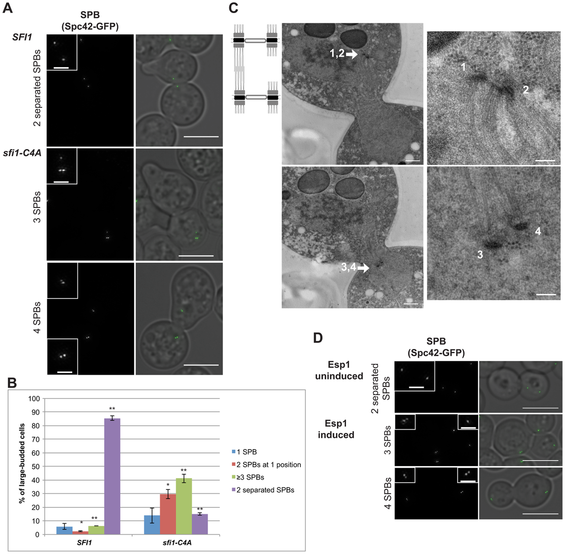 Reduplicated SPBs upon mitotic arrest are enhanced in <i>sfi1-C4A</i> and are present upon Cdc14 activation.
