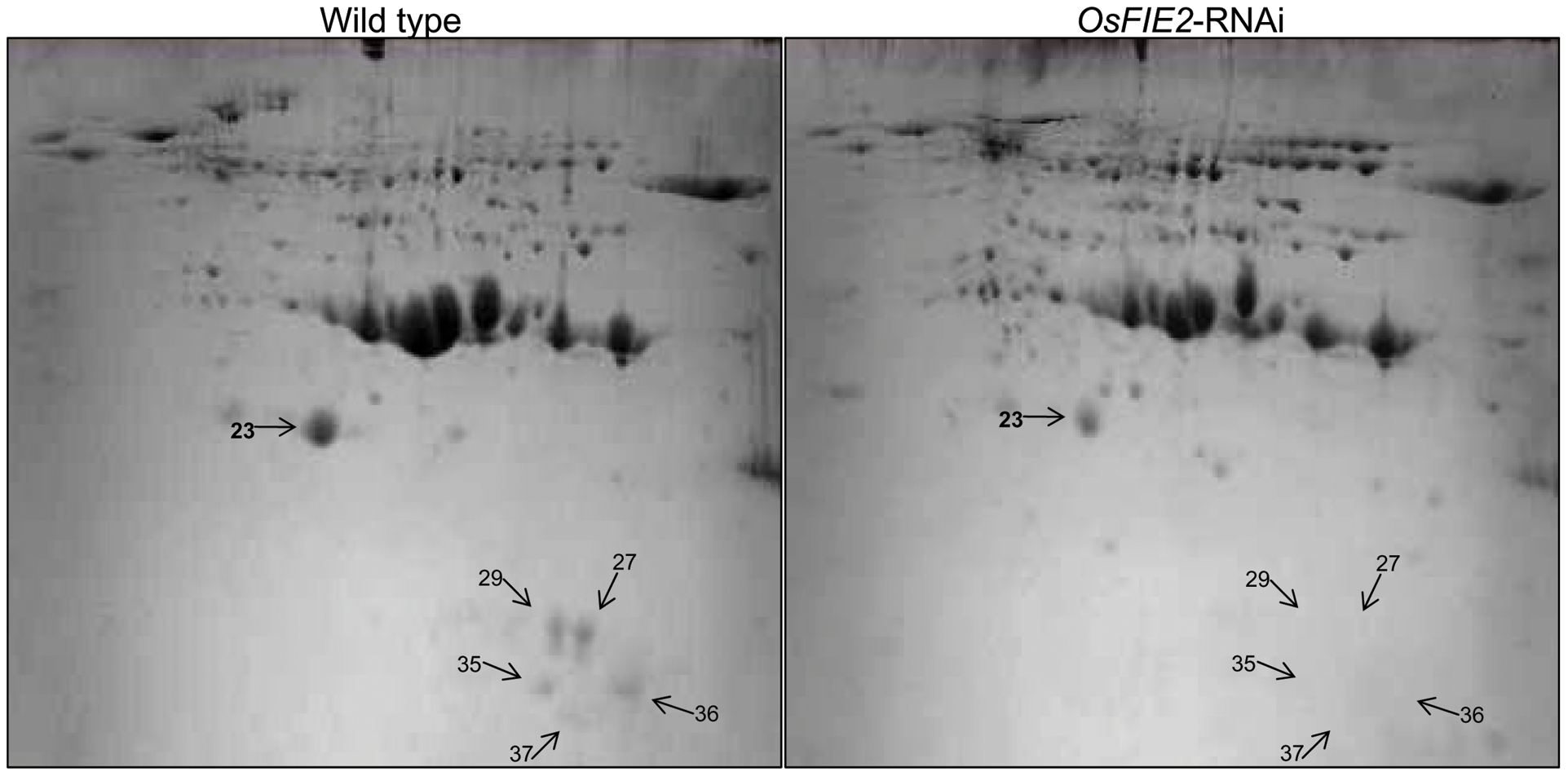 2-DE gel images of rice seed proteins from weak <i>OsFIE2</i>-RNAi and wild-type plants.
