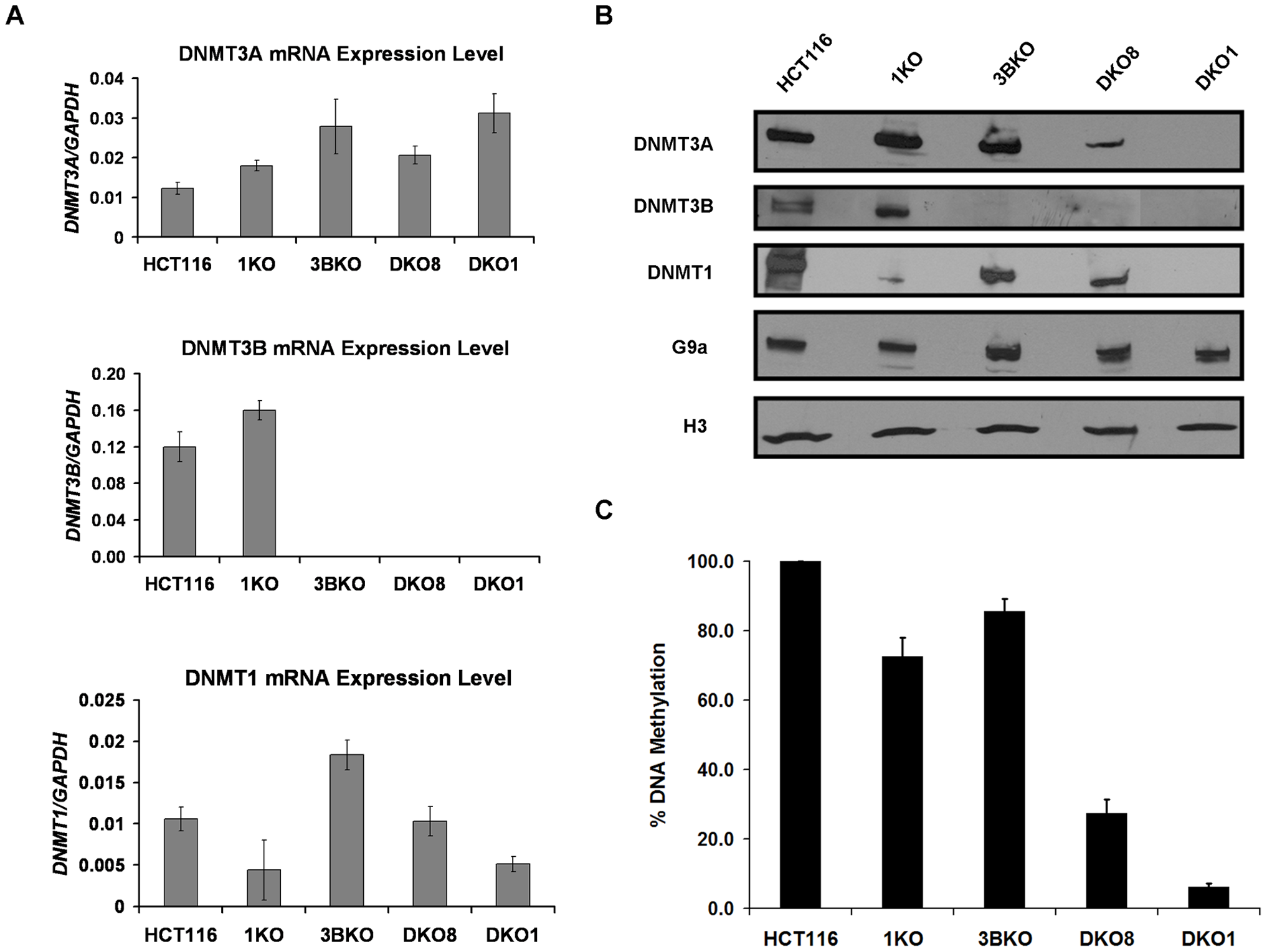 Transcription-independent decrease in DNMT3A protein level in hypomethylated DKO cells that contain severely impaired DNMT1 activity.