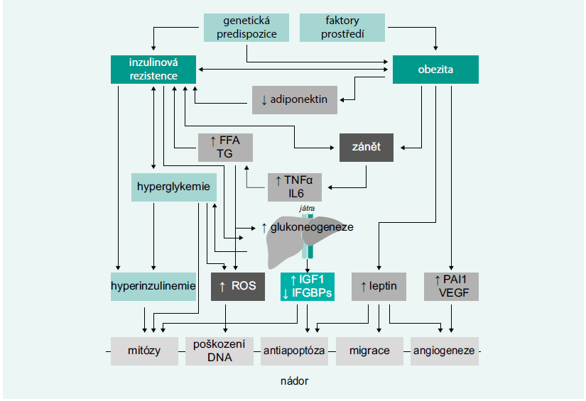 Schéma 1. Patogenetické vztahy mezi diabetem 2. typu a vývojem karcinomu pankreatu