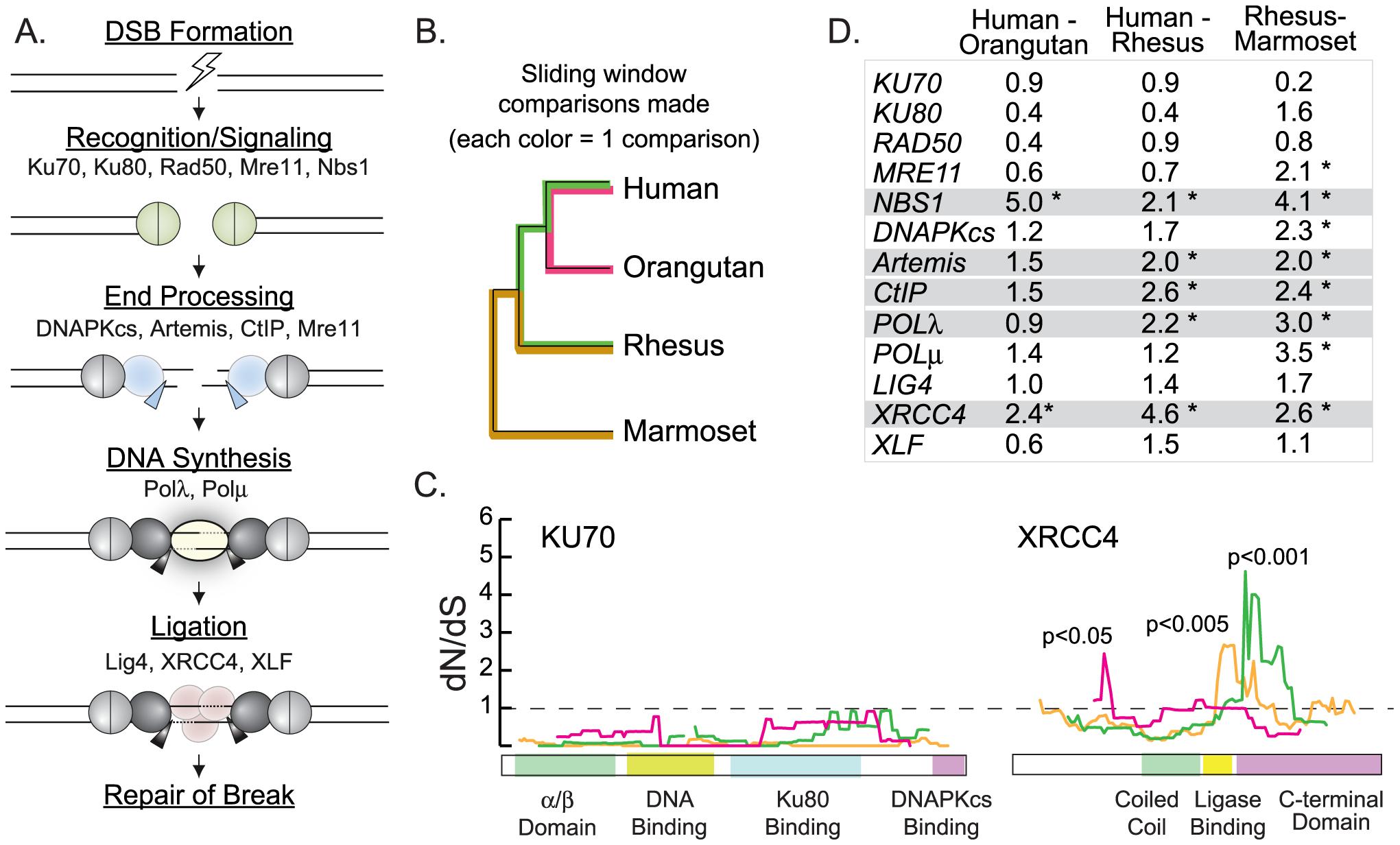 Sliding window analysis identifies five candidate NHEJ genes evolving under positive selection.