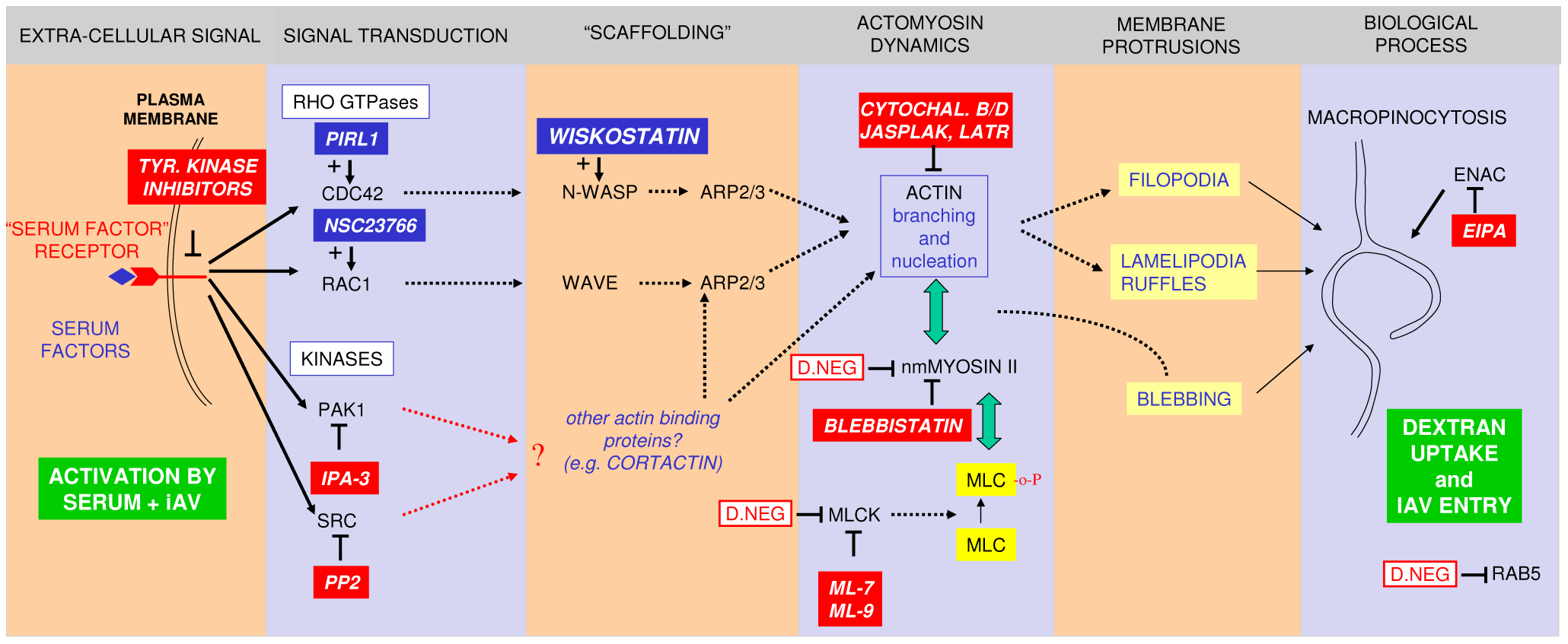 A model for IAV entry by macropinocytosis.