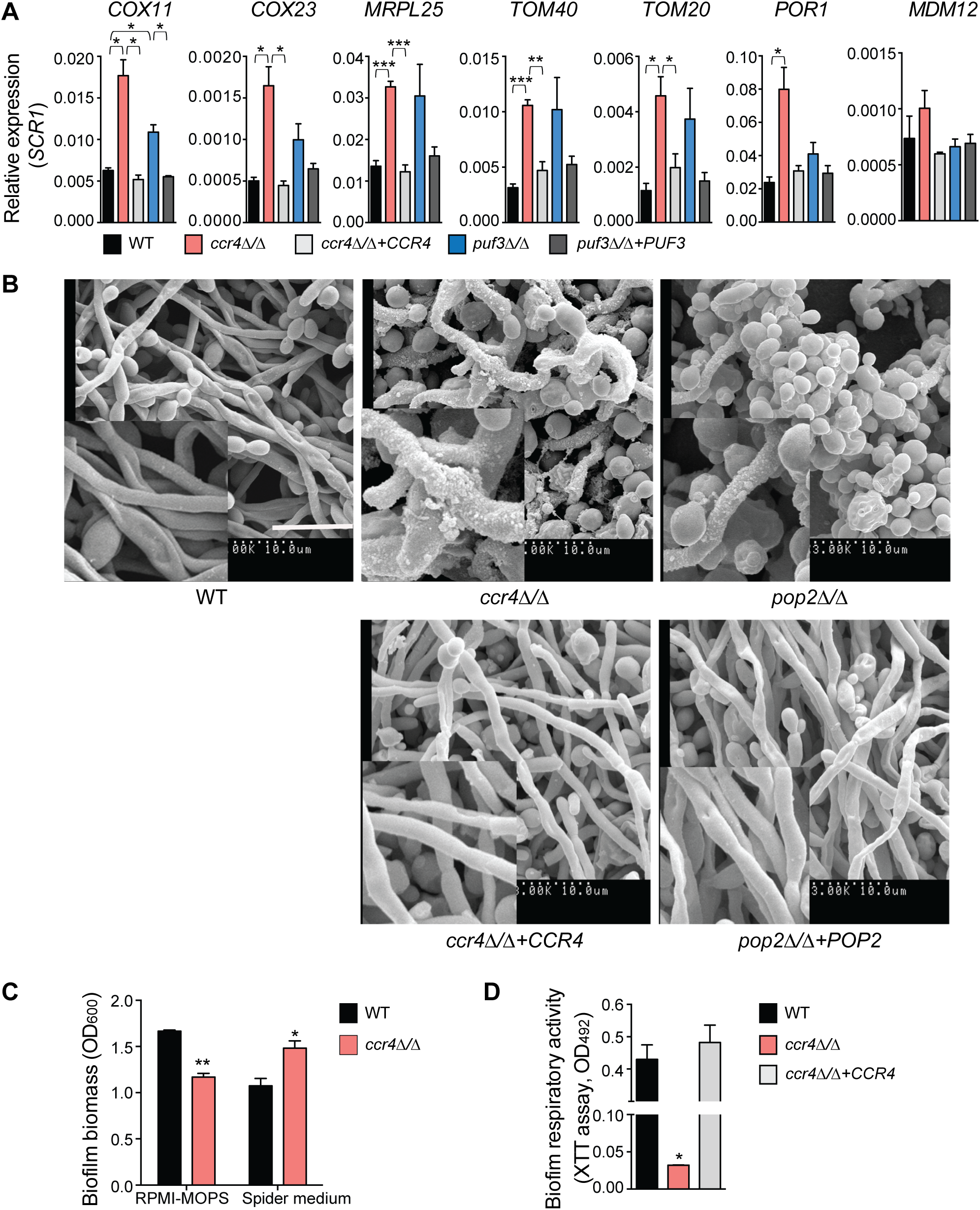The mRNA deadenylase Ccr4 regulates extracellular matrix production in biofilms.