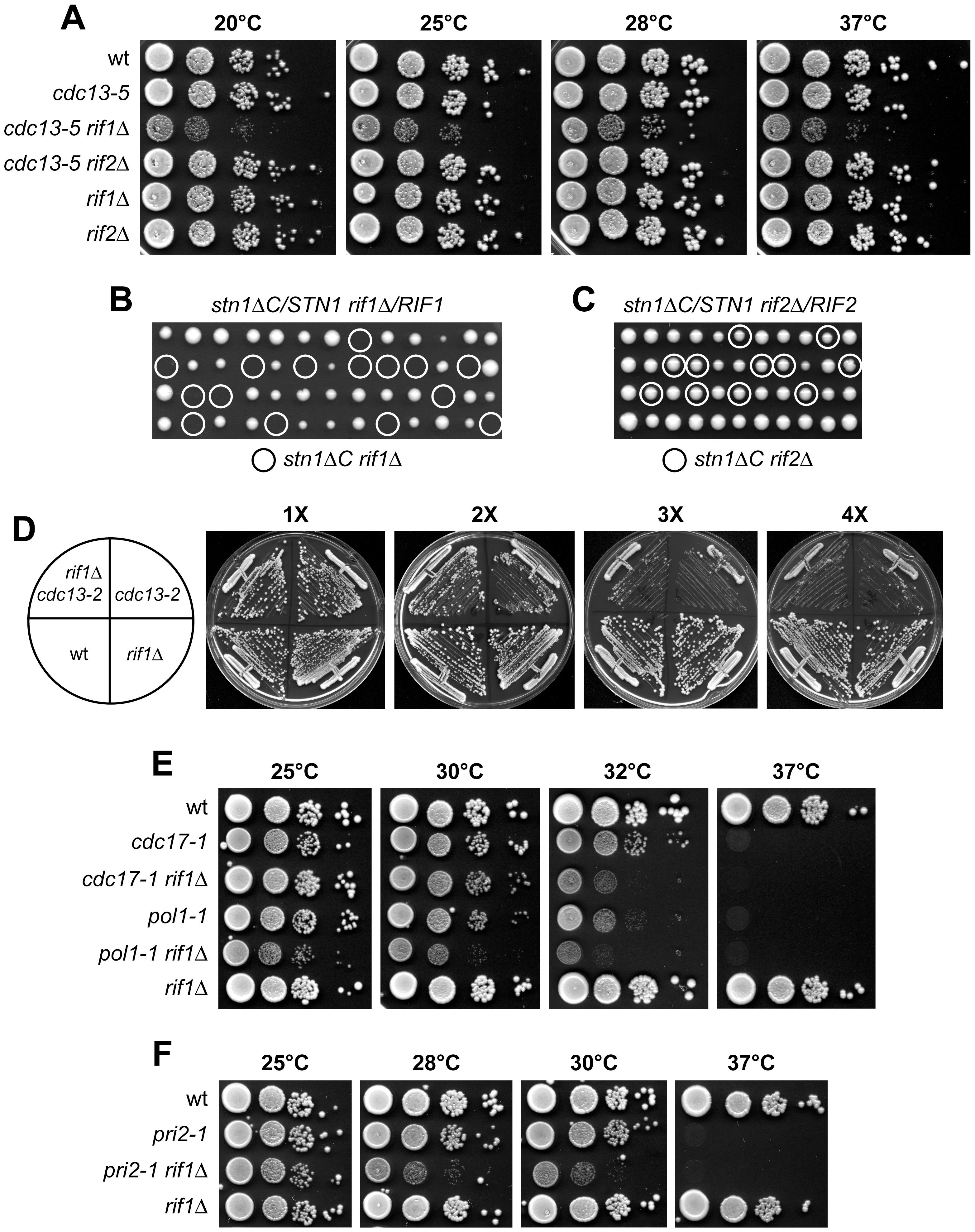 <i>RIF1</i> deletion affects viability of both <i>cdc13-5</i> and <i>stn1</i>Δ<i>C</i> cells.