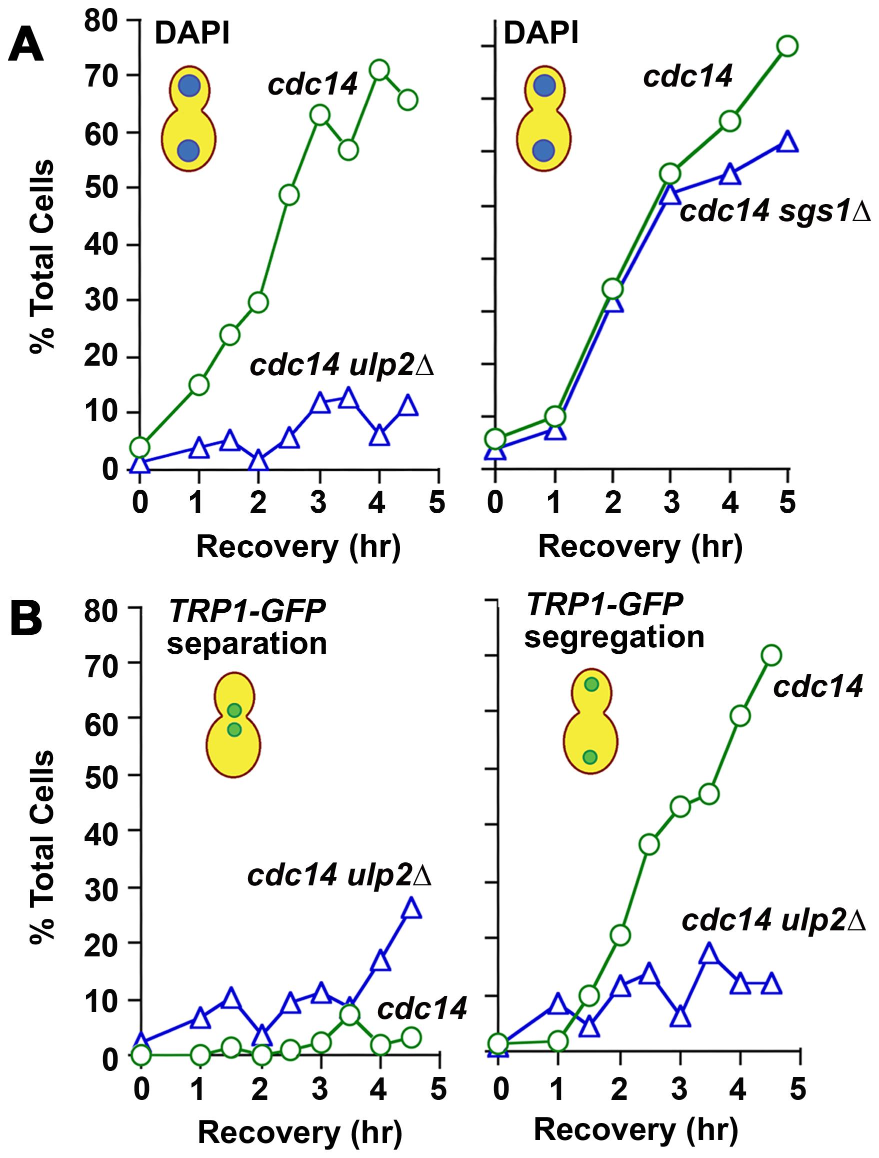 Chromosome disjunction in MMS–treated <i>ulp2</i>Δ <b>mutants.</b>