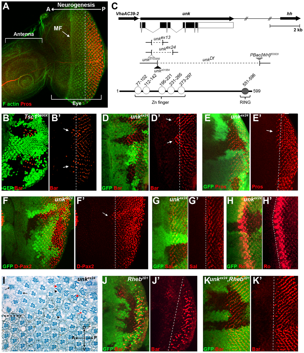 An RNAi screen for neurogenic genes that are regulated by mTOR signalling identifies <i>unkempt</i>.