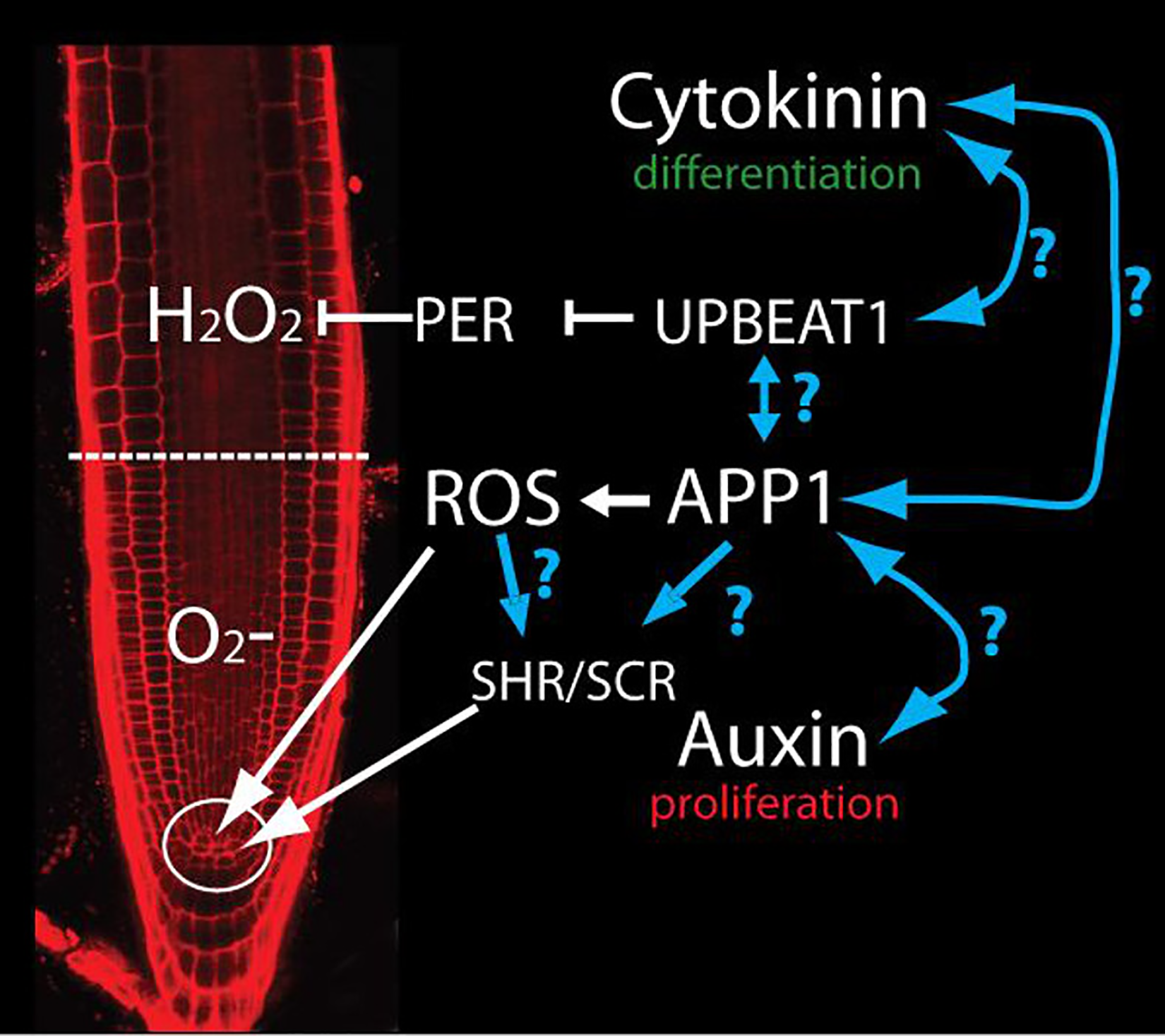 APP1-dependent ROS control QC and DSC through SHR and SCR.