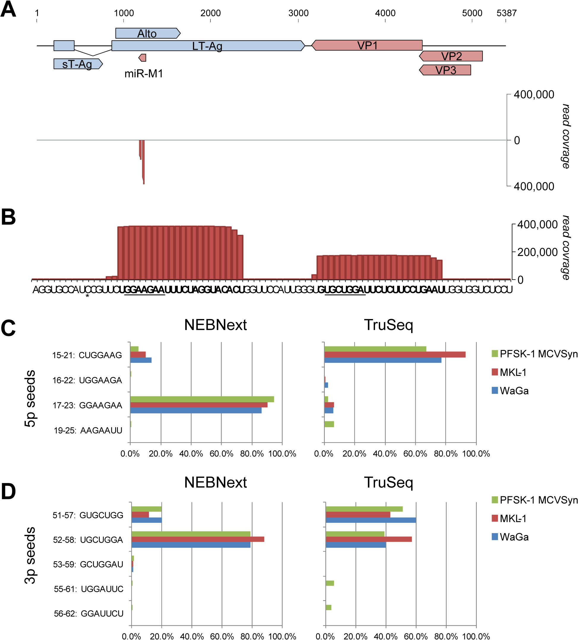 Expression of mcv-miR-M1 by replicating MCPyV genomes.