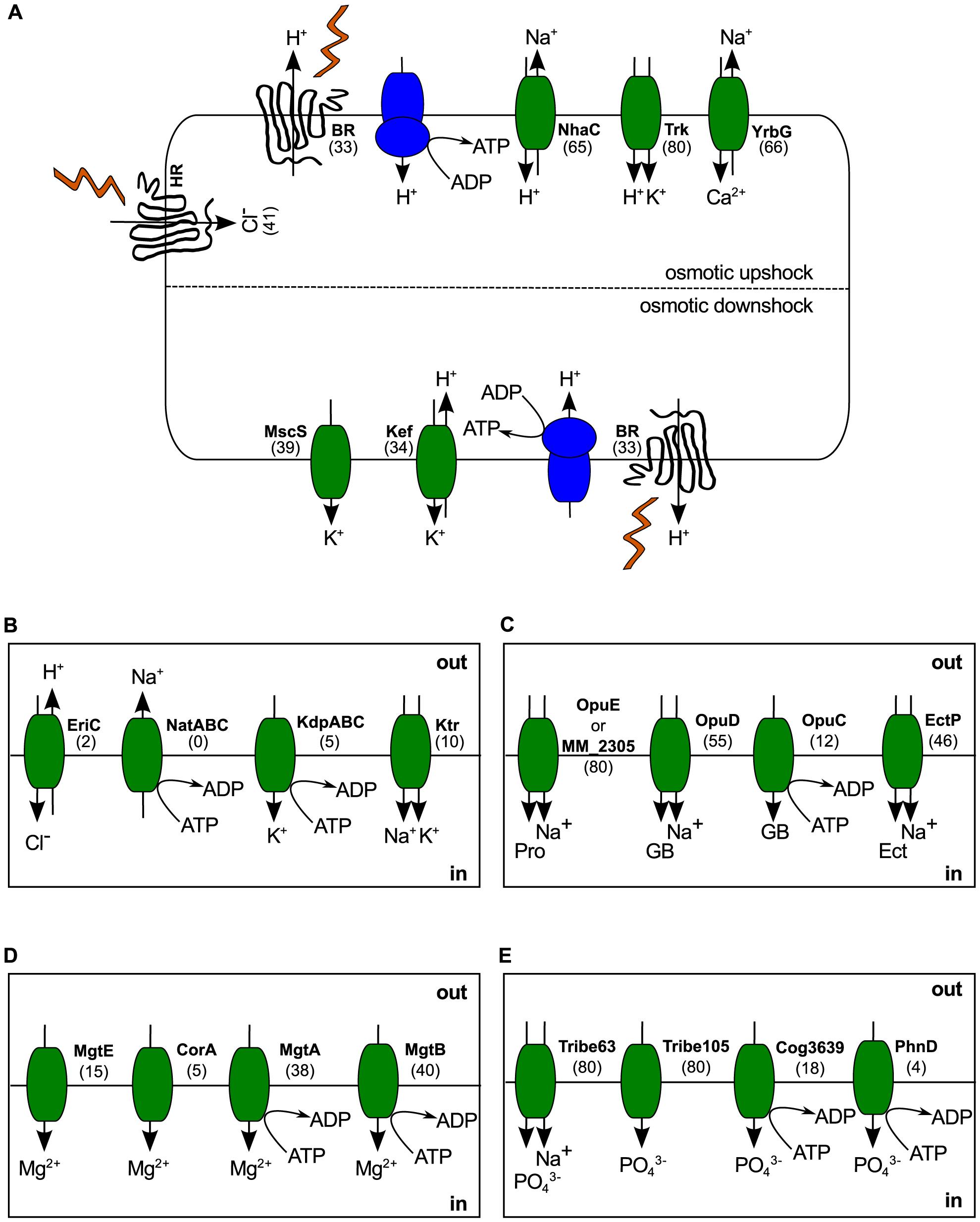 Haloarchaeal osmoadaptation.