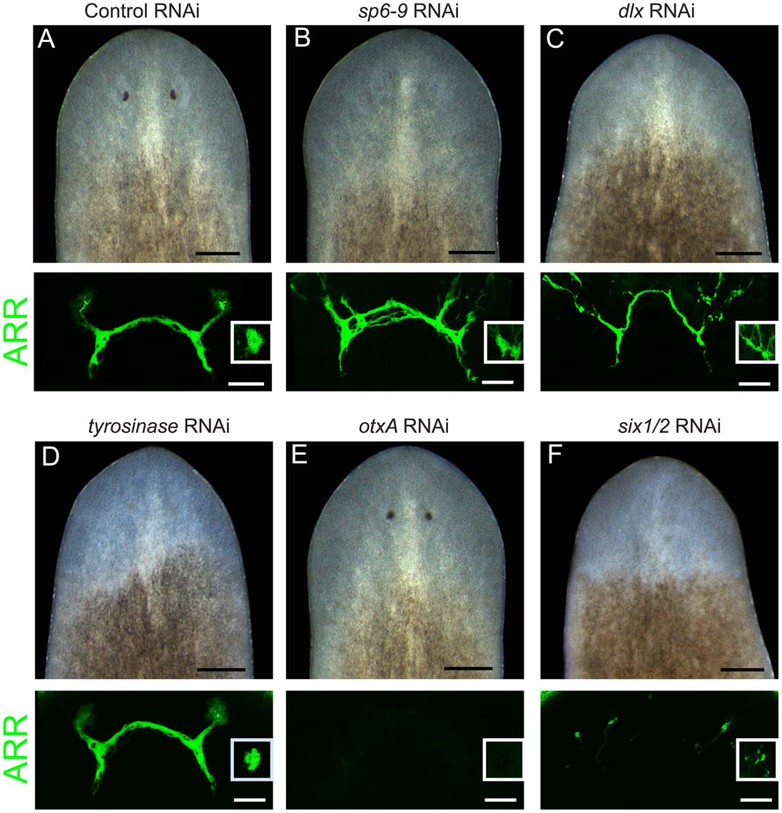 <i>dlx</i> and <i>sp6-9</i> are required for optic cup regeneration.