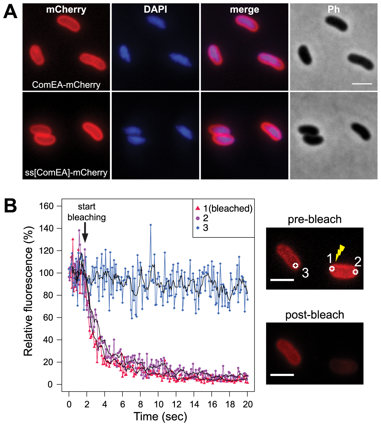Localization of the ComEA protein in naturally competent <i>V. cholerae</i> cells.