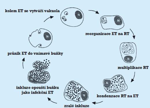 Životní cyklus chlamydia trachomatis.