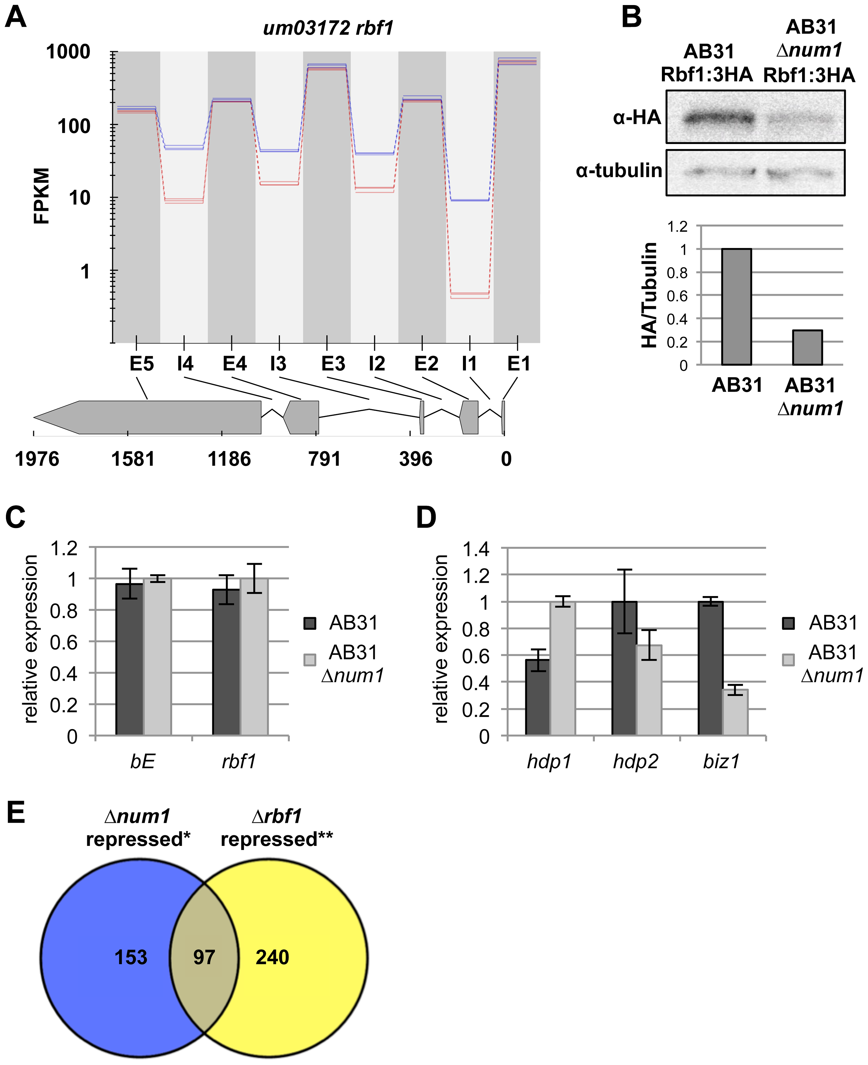 Reduced splicing efficiency of the <i>rbf1</i>-gene leads to impaired function of the Rbf1 master regulator.