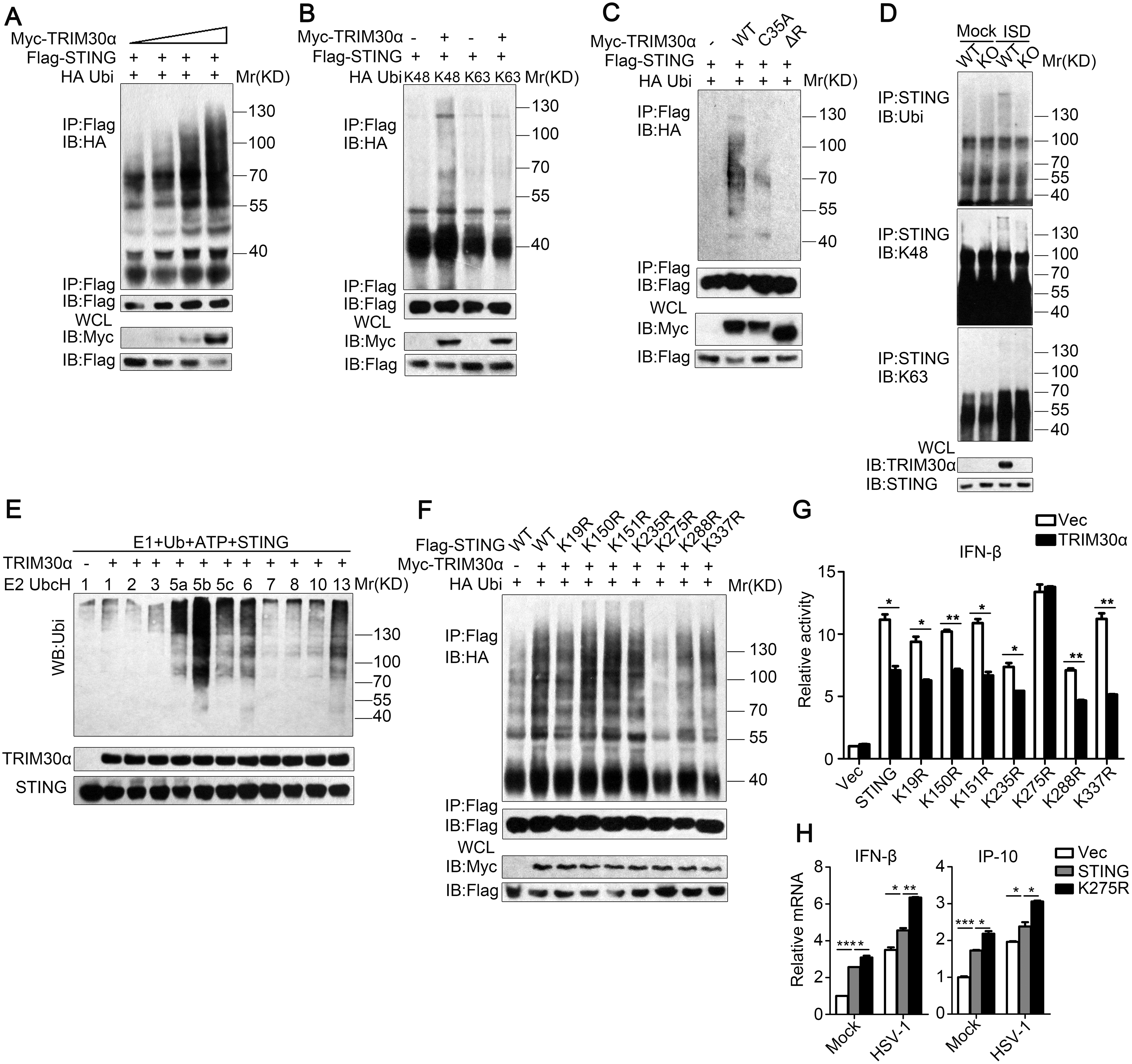 TRIM30α is an E3 ubiquitin ligase and targets STING for K48-mediated ubiquitination at Lys275.