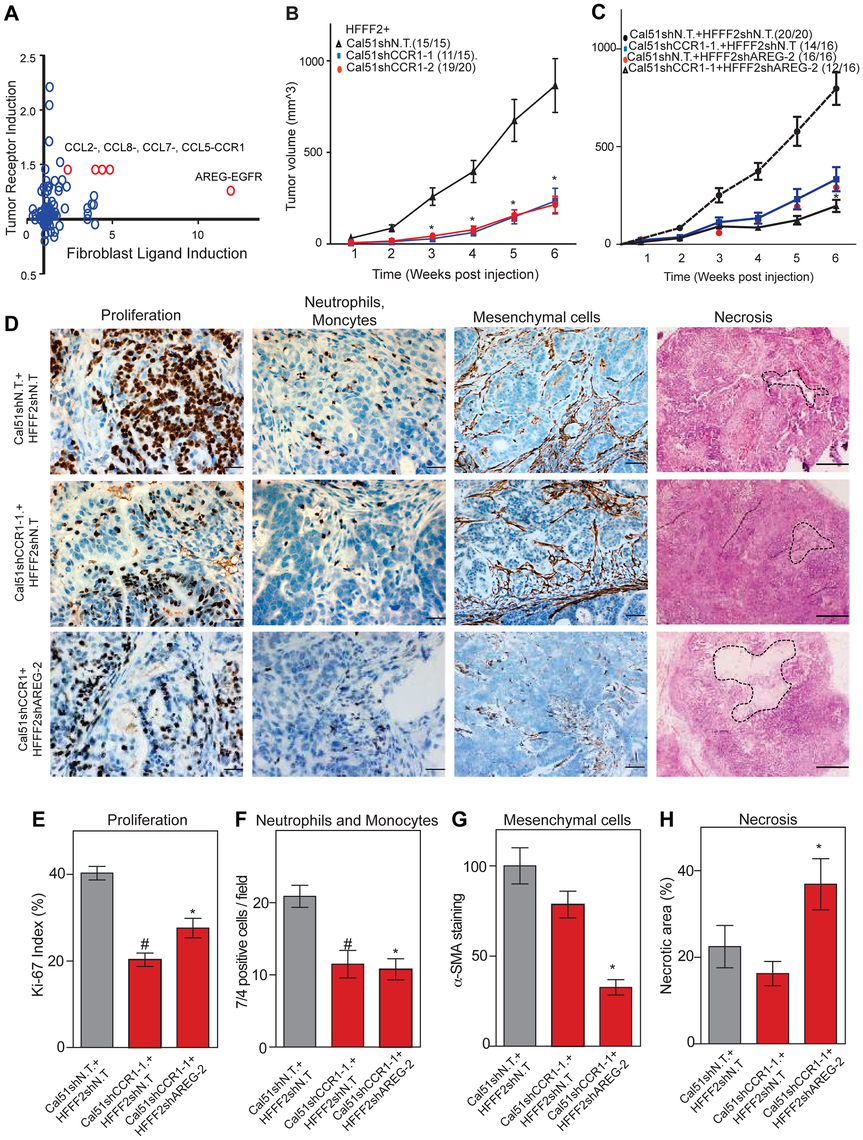 Combined inhibition of chemokine and amphiregulin signaling is more effective at blocking the effects of tumor supportive fibroblasts.