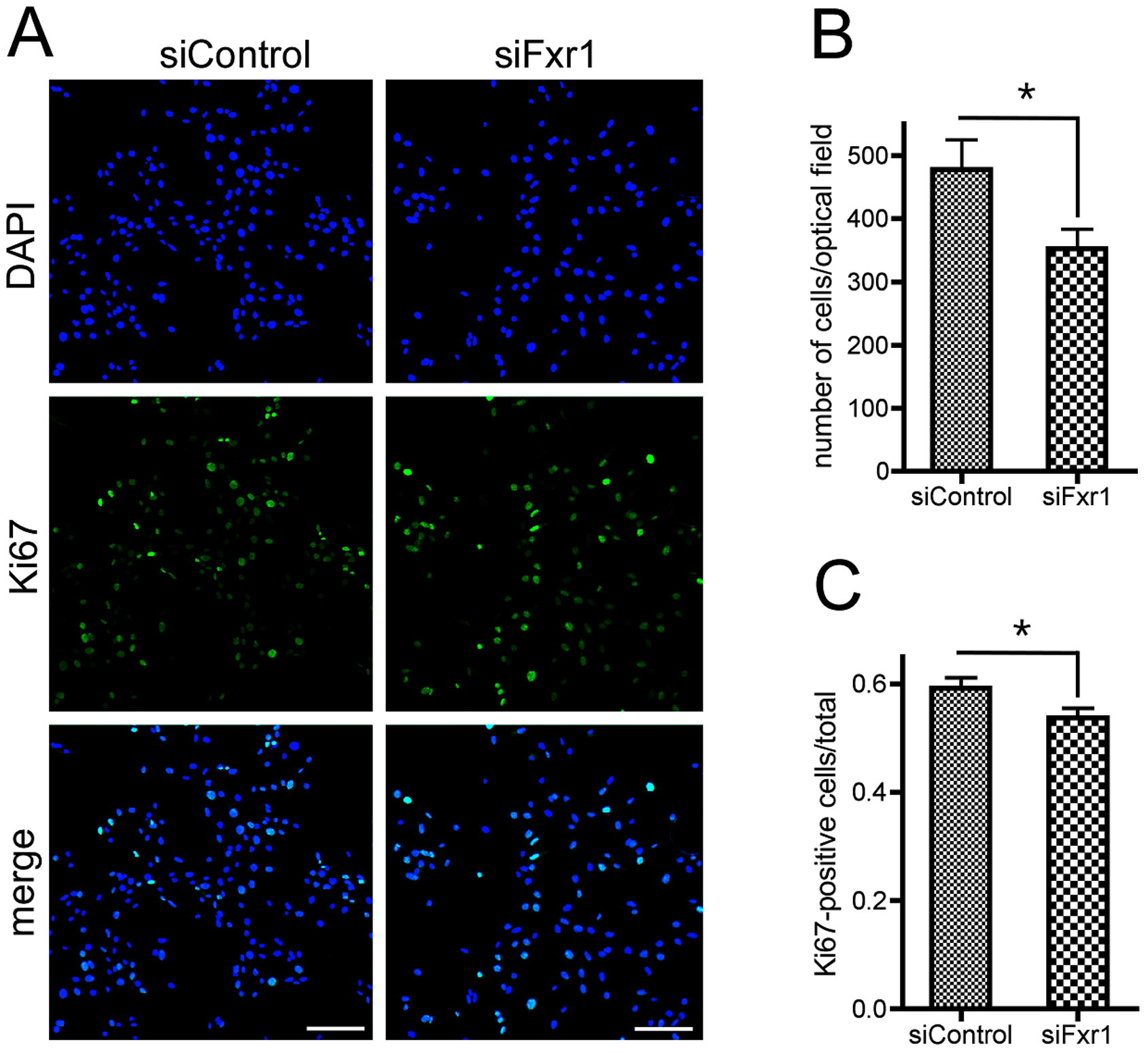 Knockdown of FXR1P induces premature cell cycle exit of myoblasts.