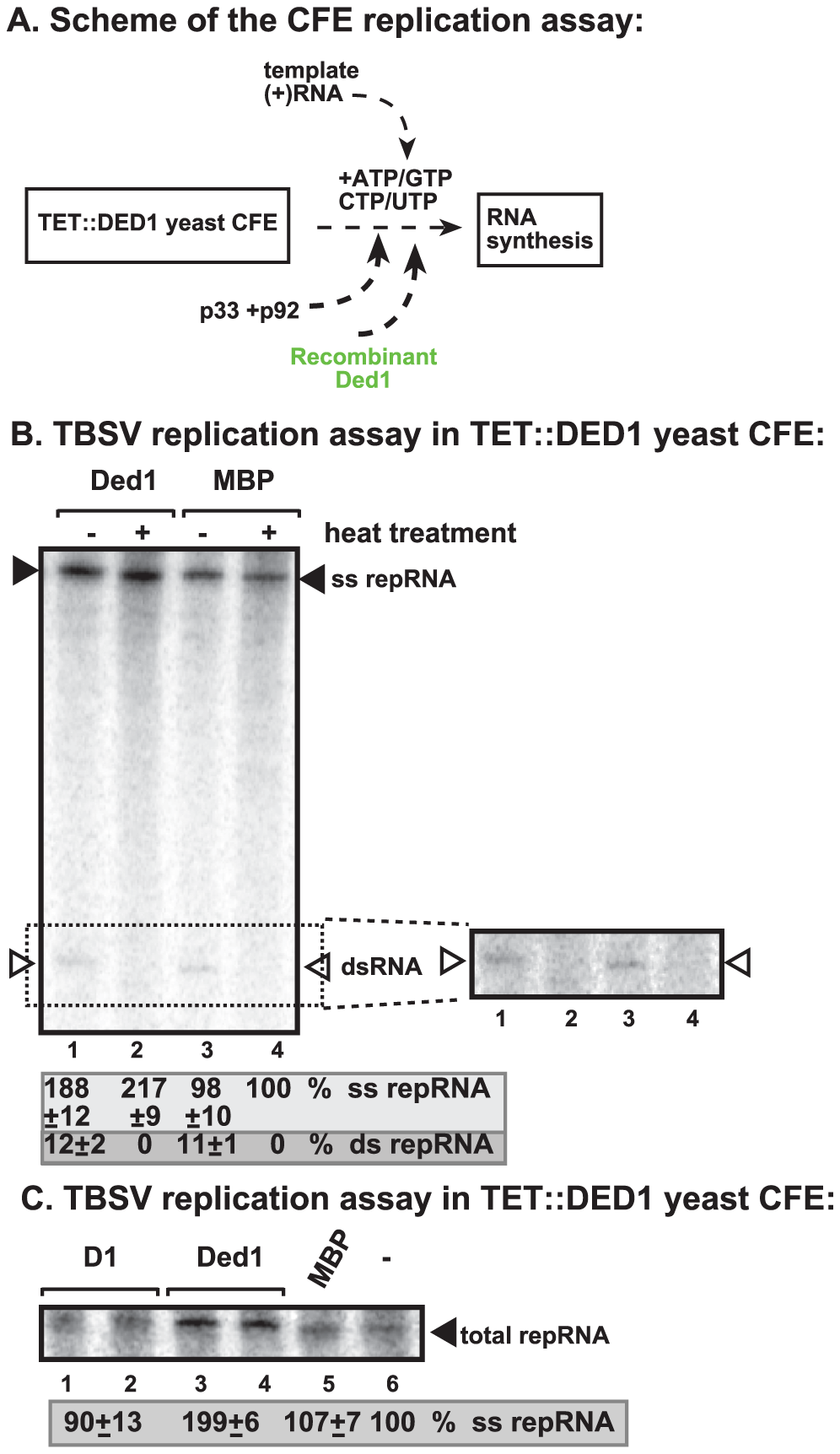 Cell-free TBSV replication assay supports a role for Ded1p helicase in plus-strand synthesis.
