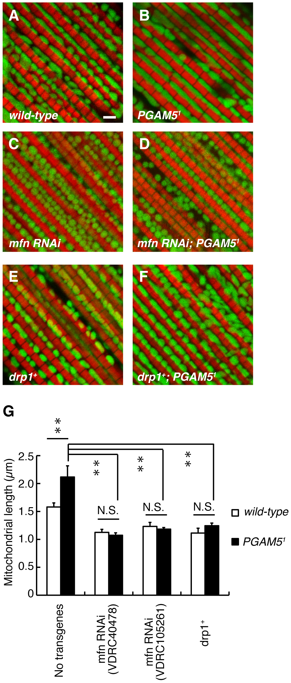 Relationship between <i>dPGAM5</i> and the mitochondrial fusion/fission genes.