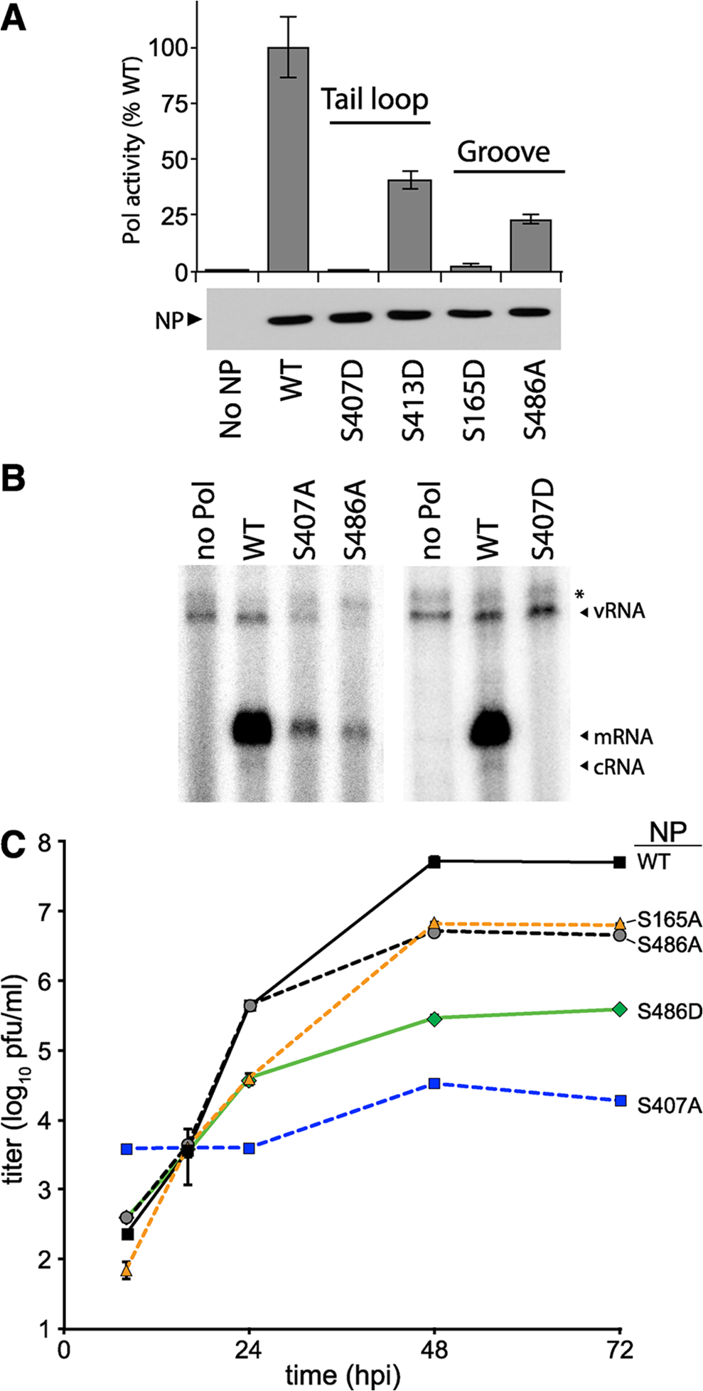 NP phosphorylation sites are important for RNP activity and virus replication.