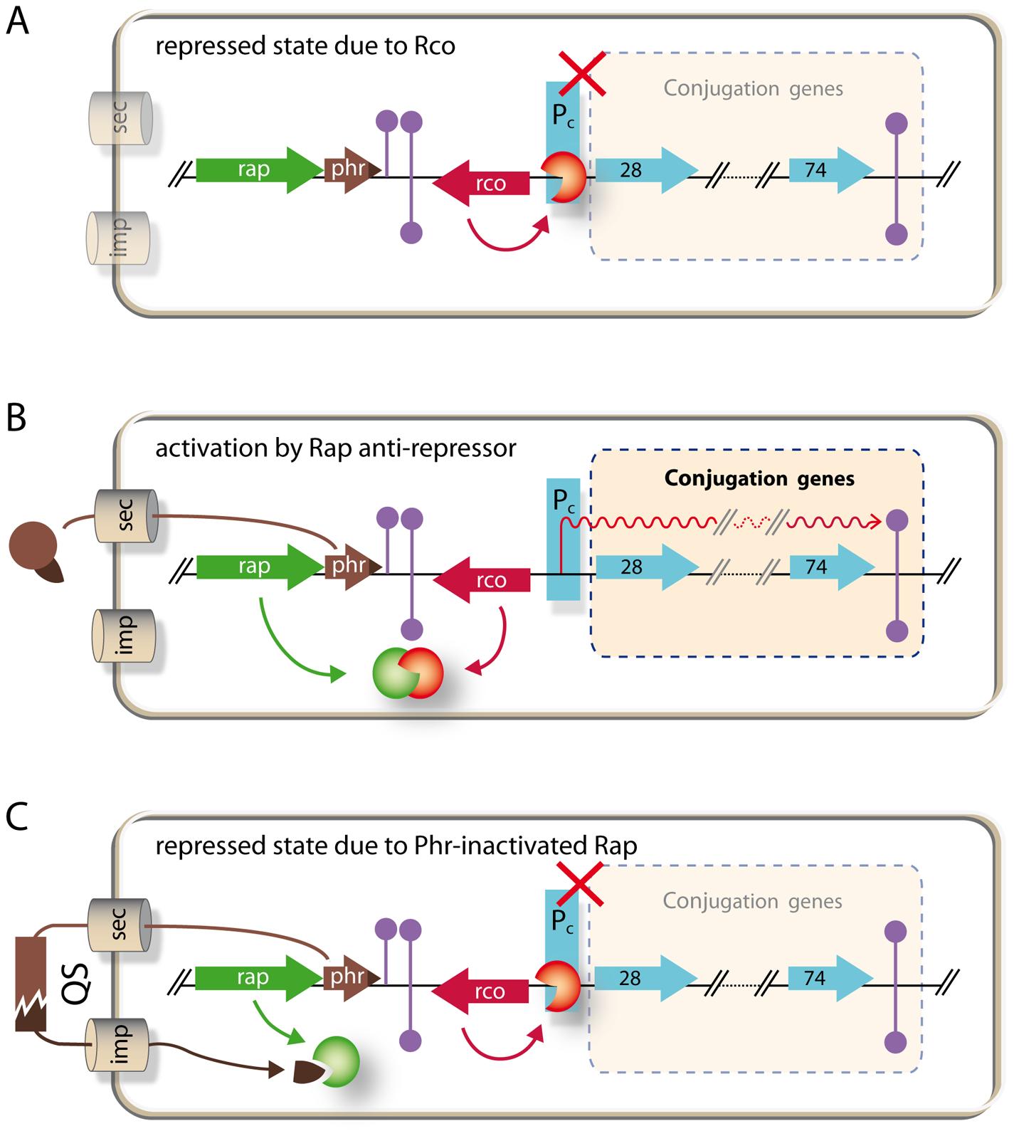 Model of regulatory circuitry of pLS20 conjugation genes.